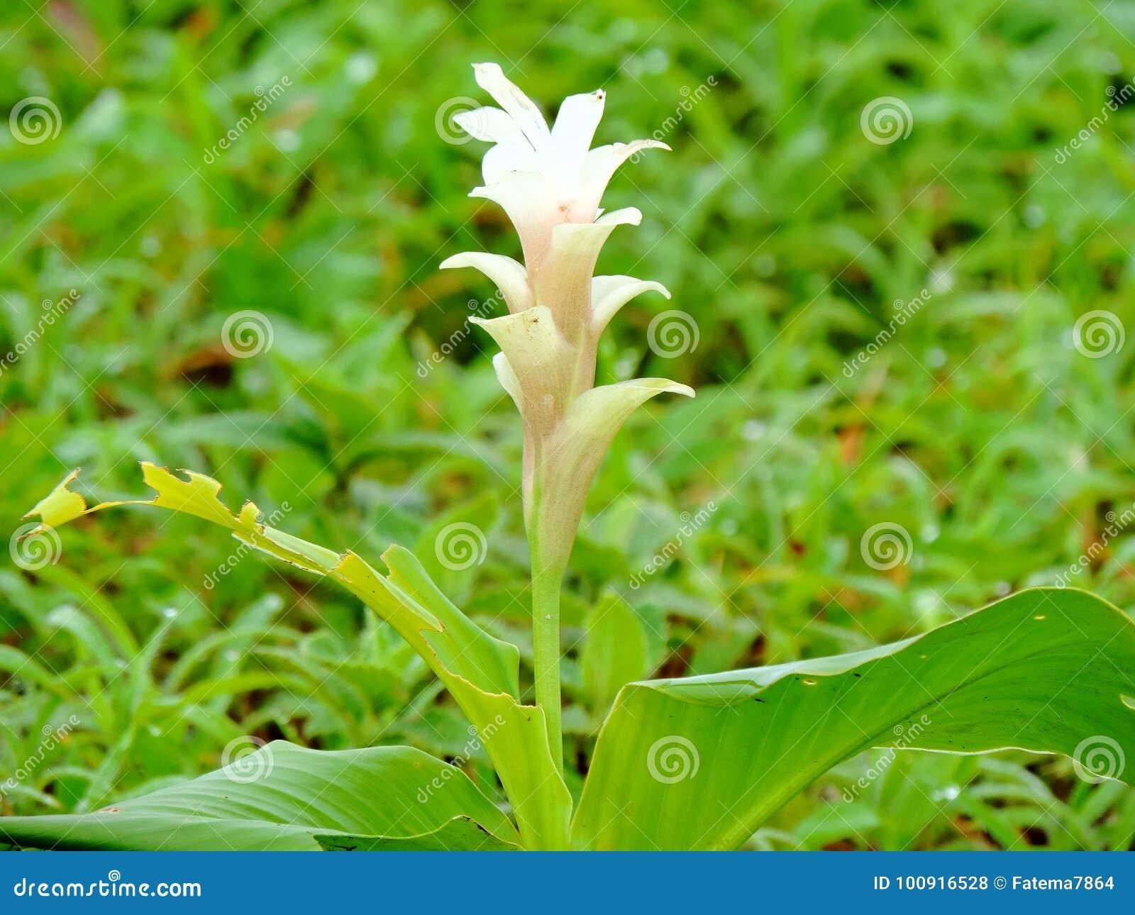 Hitchenia Caulina, des espèces de fleur a trouvé dans le plateau de Kaas