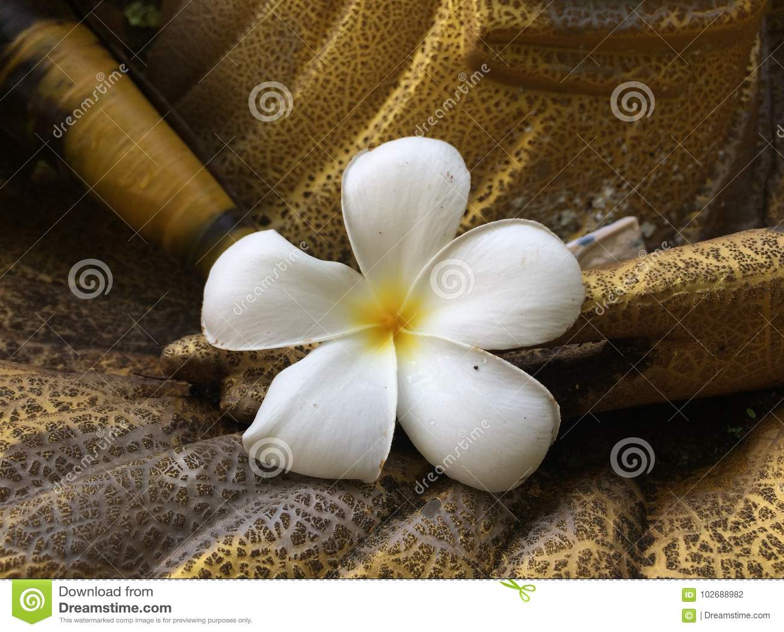 Hite Plumeria put on hand of golden statue,white flower
