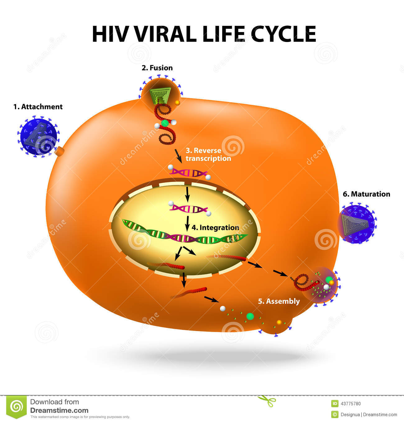 hiv replication cycle stock vector image of integration diagram of effects of hiv aids #1