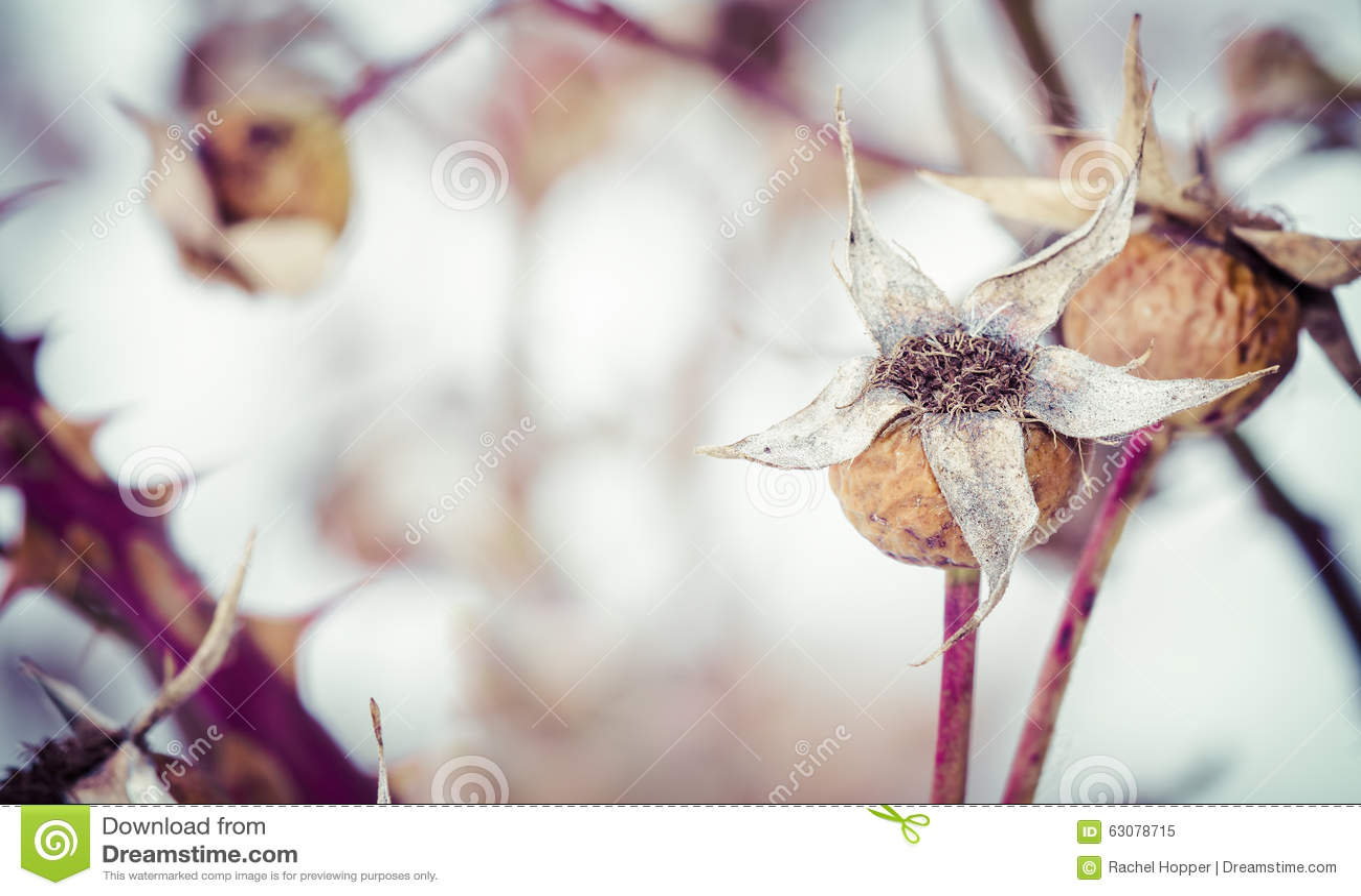 Download Hiver sec Rose Hips image stock. Image du brun, herbal - 63078715
