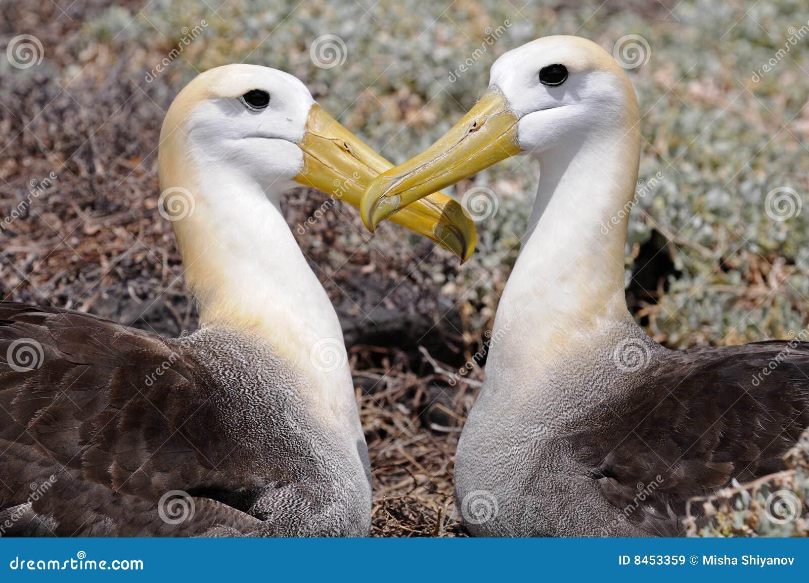 Hjärta för albatrossesdatalisthuvud satte deras två