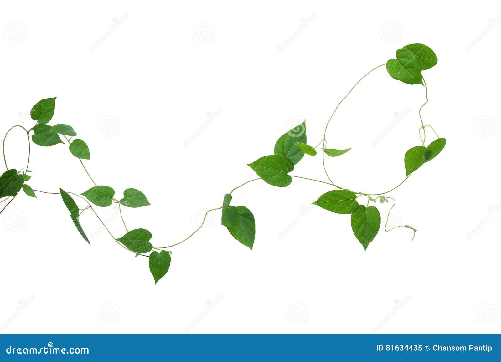 Hjärta formad gräsplan lämnar vinrankor isolerade på vit bakgrund, cl
