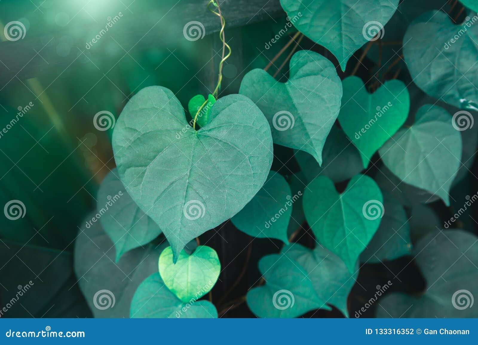 Hjärta formade det gröna skrynkliga bladet av korallvinrankan eller kedjan av förälskelse