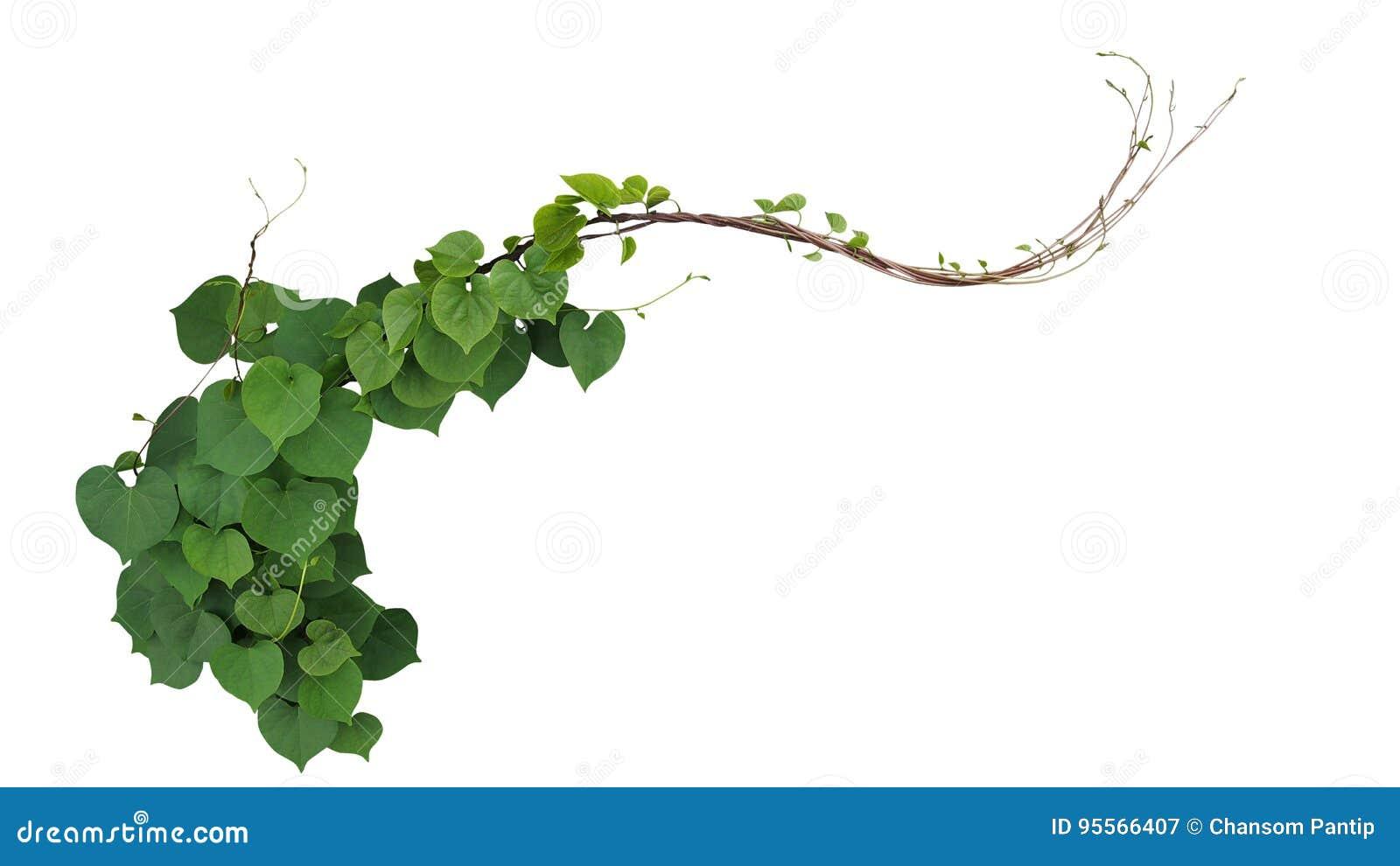 Hjärta formade gröna sidor av Obscure obsc för ipomoeaen för morgonhärlighet