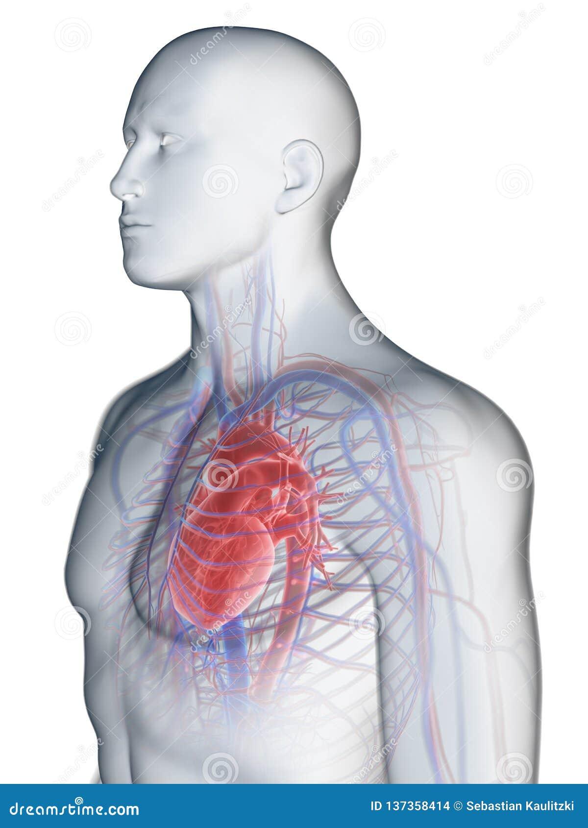 Hjärtan och det kärl- systemet