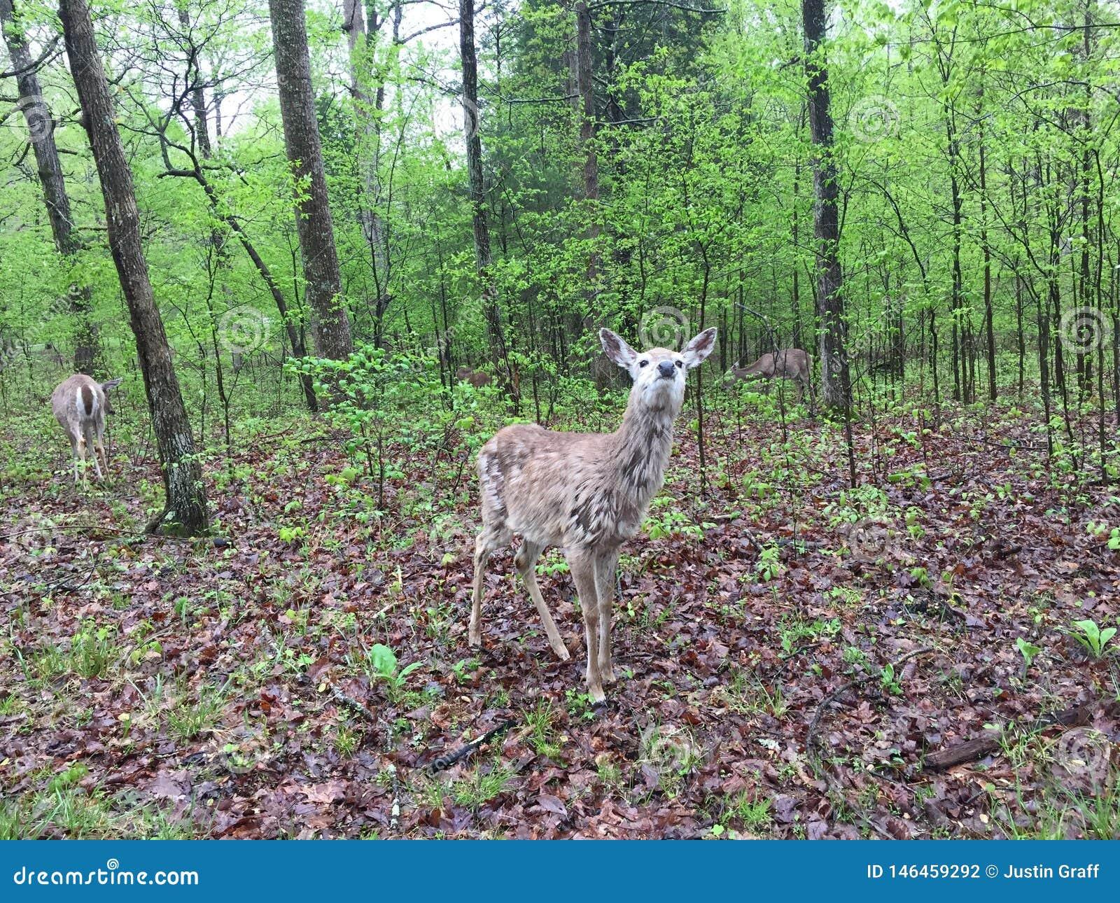 Hjortar i l?tt skogsbevuxet omr?de som ?ter sidor, som andra st?r n?rliggande