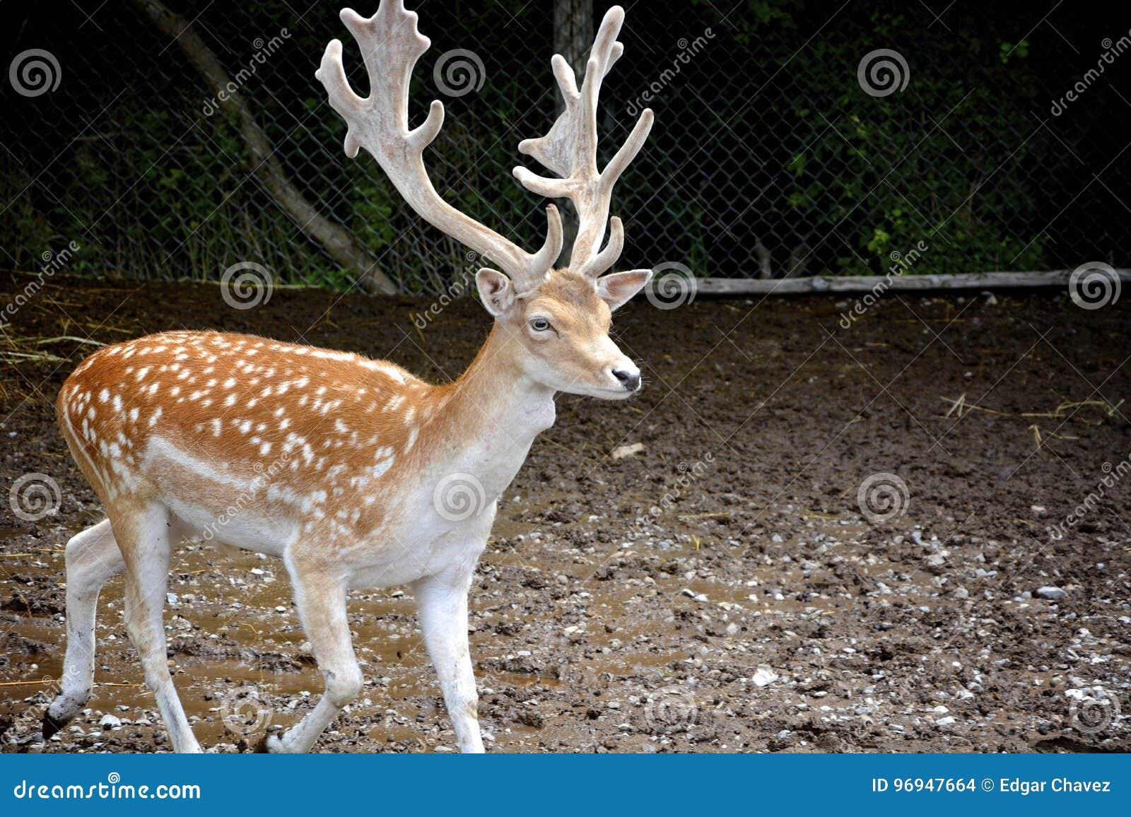 Hjortar med stora horn på kronhjort