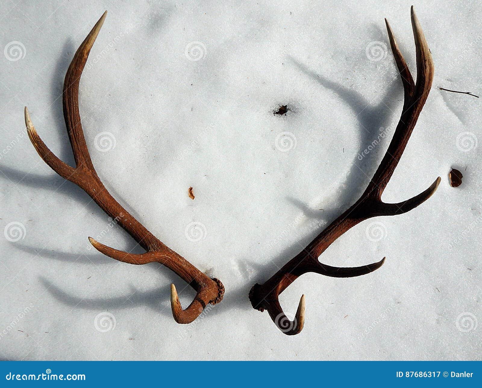 Hjorthorn på kronhjort i snön