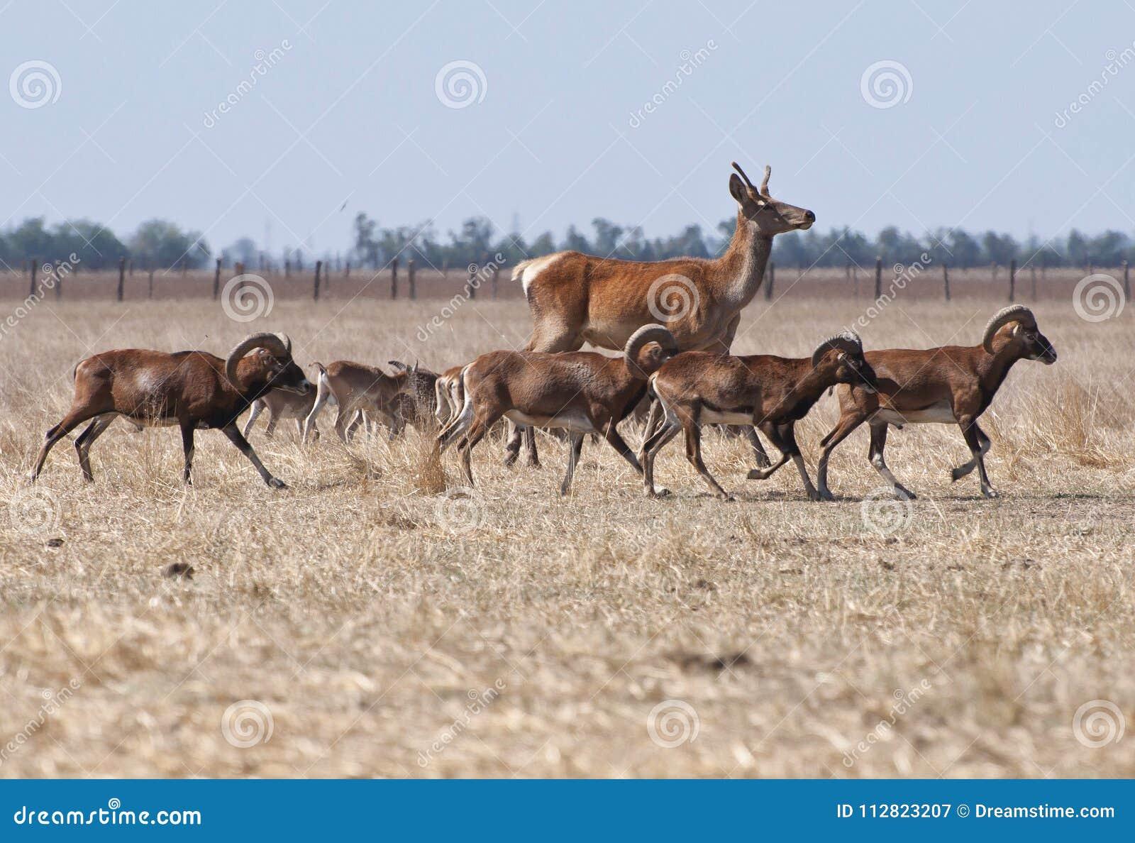 Hjortspring med en flock av får