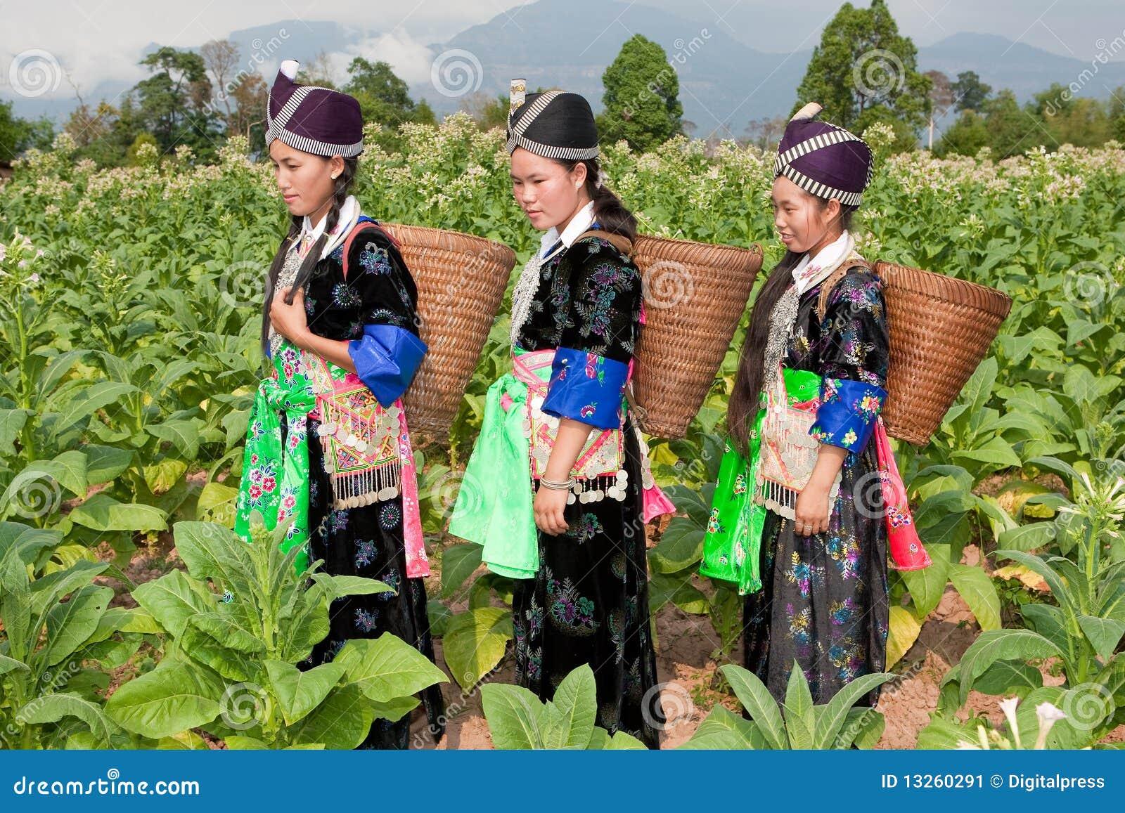 Hmong do tabaco da colheita de Ásia