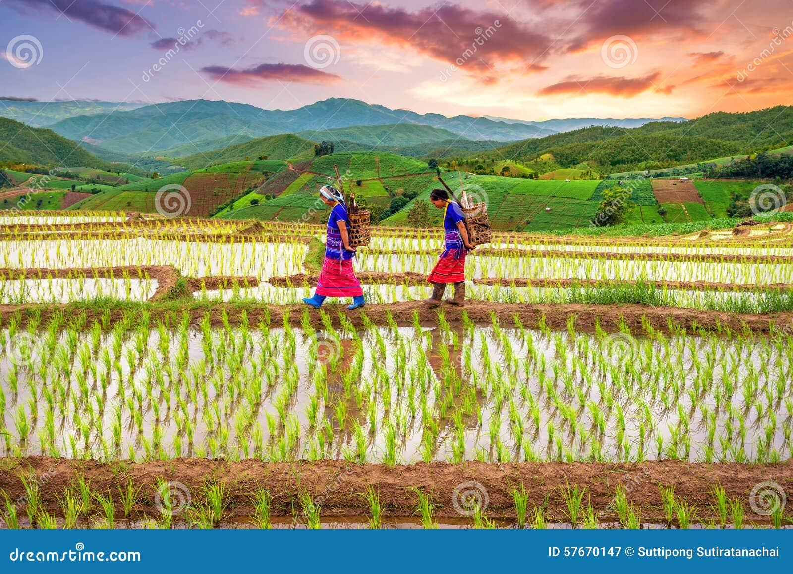 Hmong kobieta z ryżu pola tarasu tłem