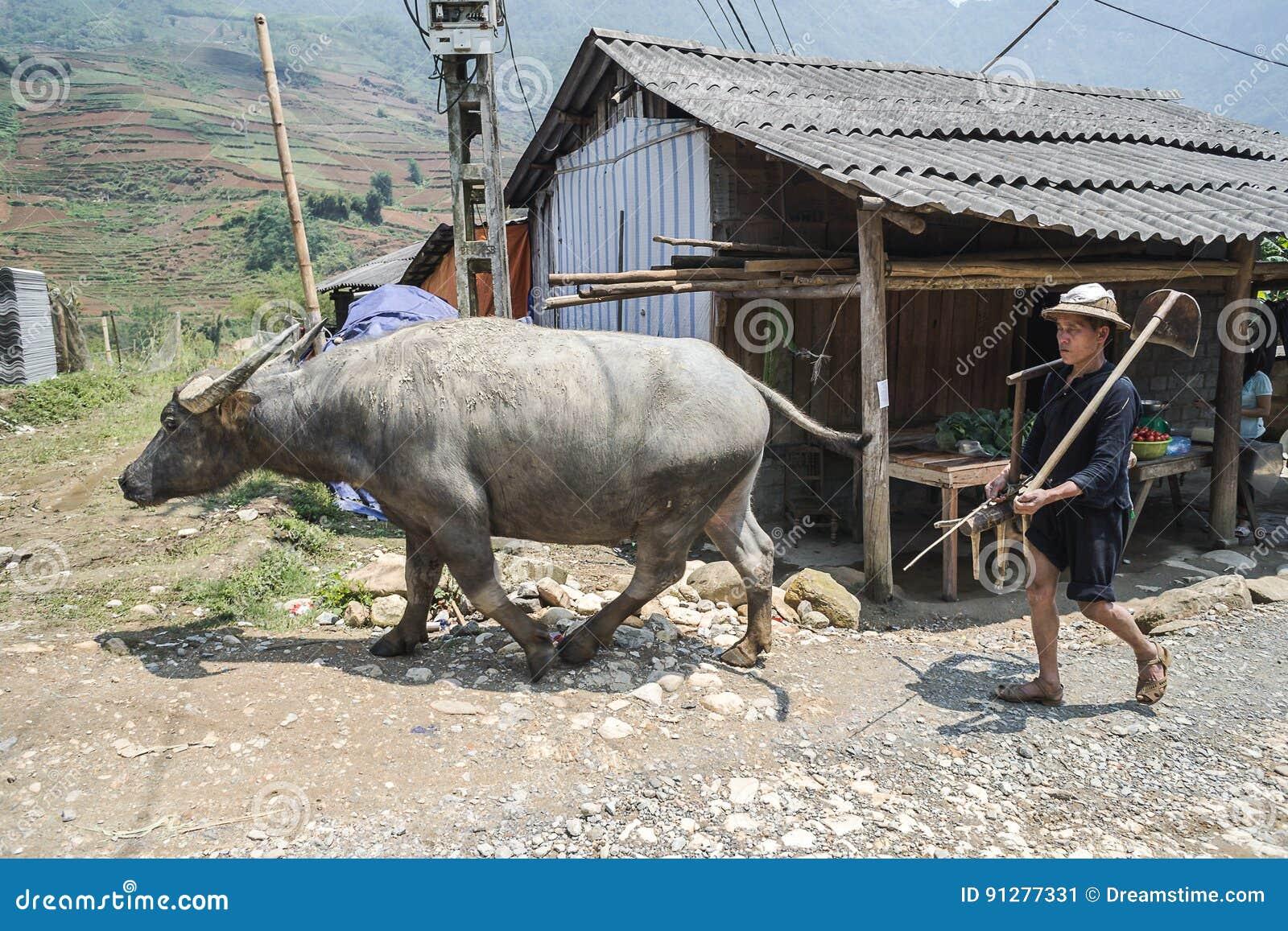 Hmong man med oxen i Sapa, Vietnam