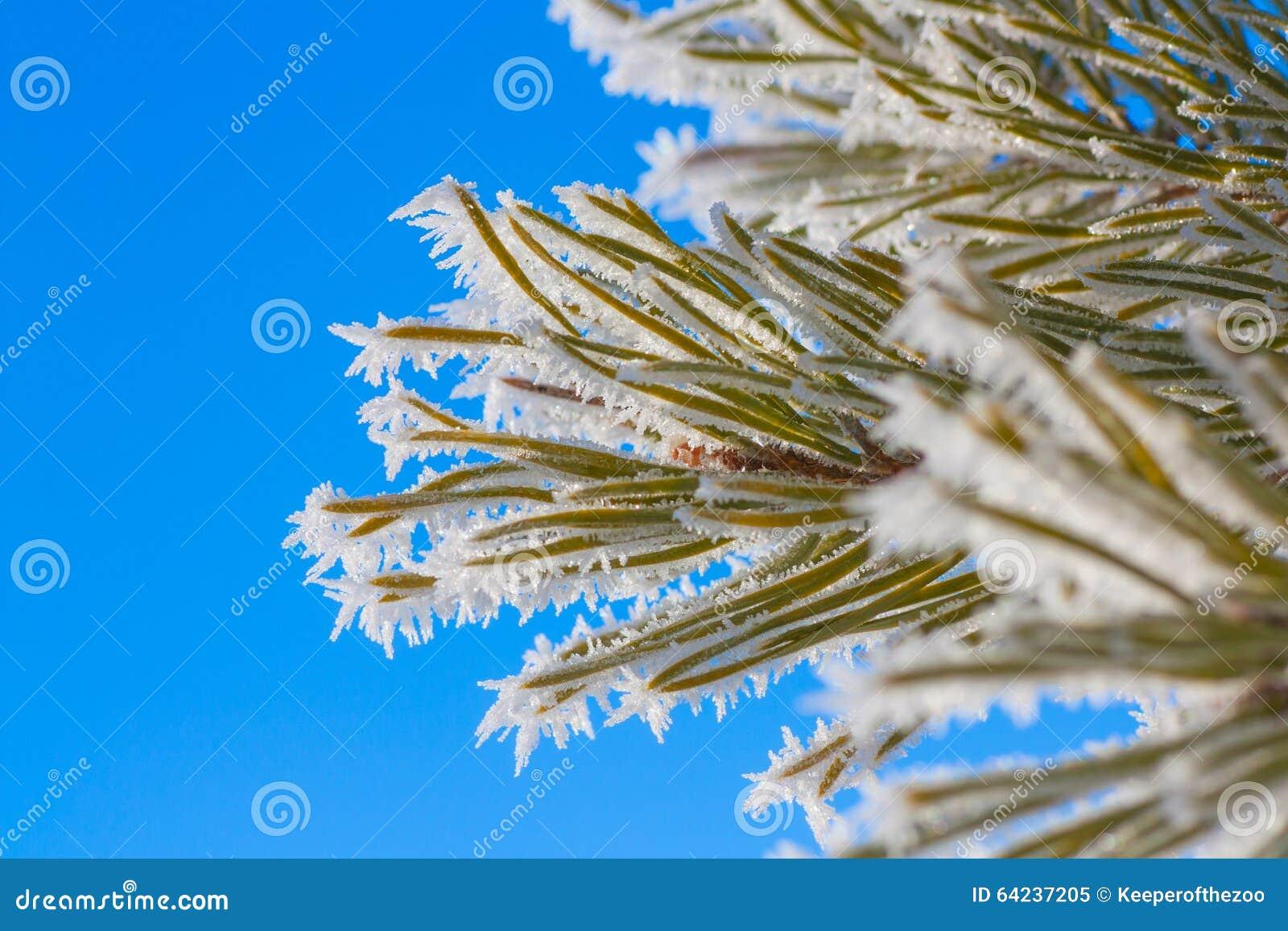 Hoar Frost on Pine Needles
