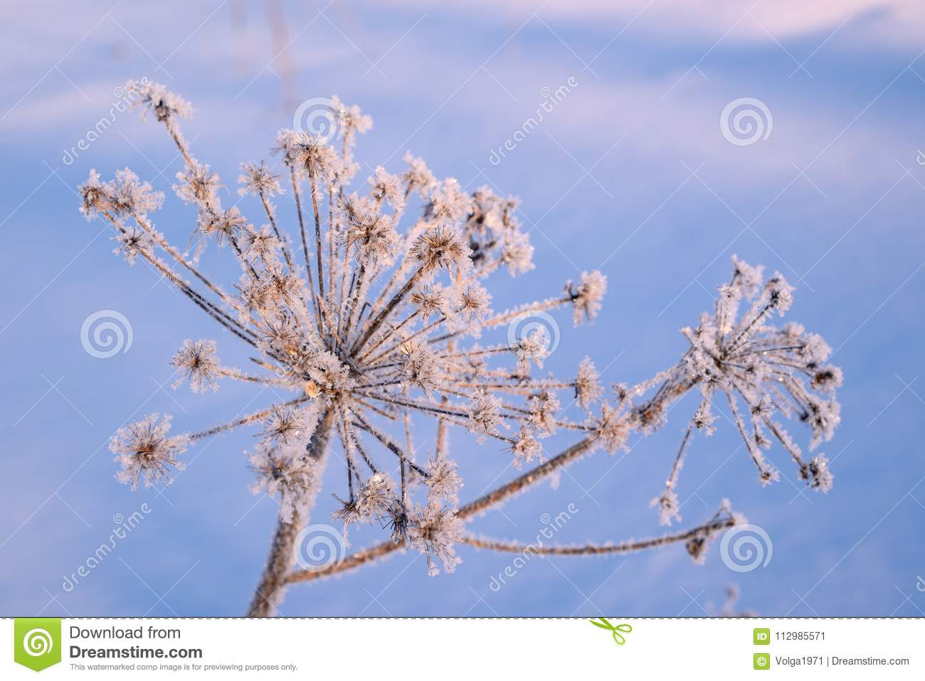Hoarfrost on a dry inflorescence