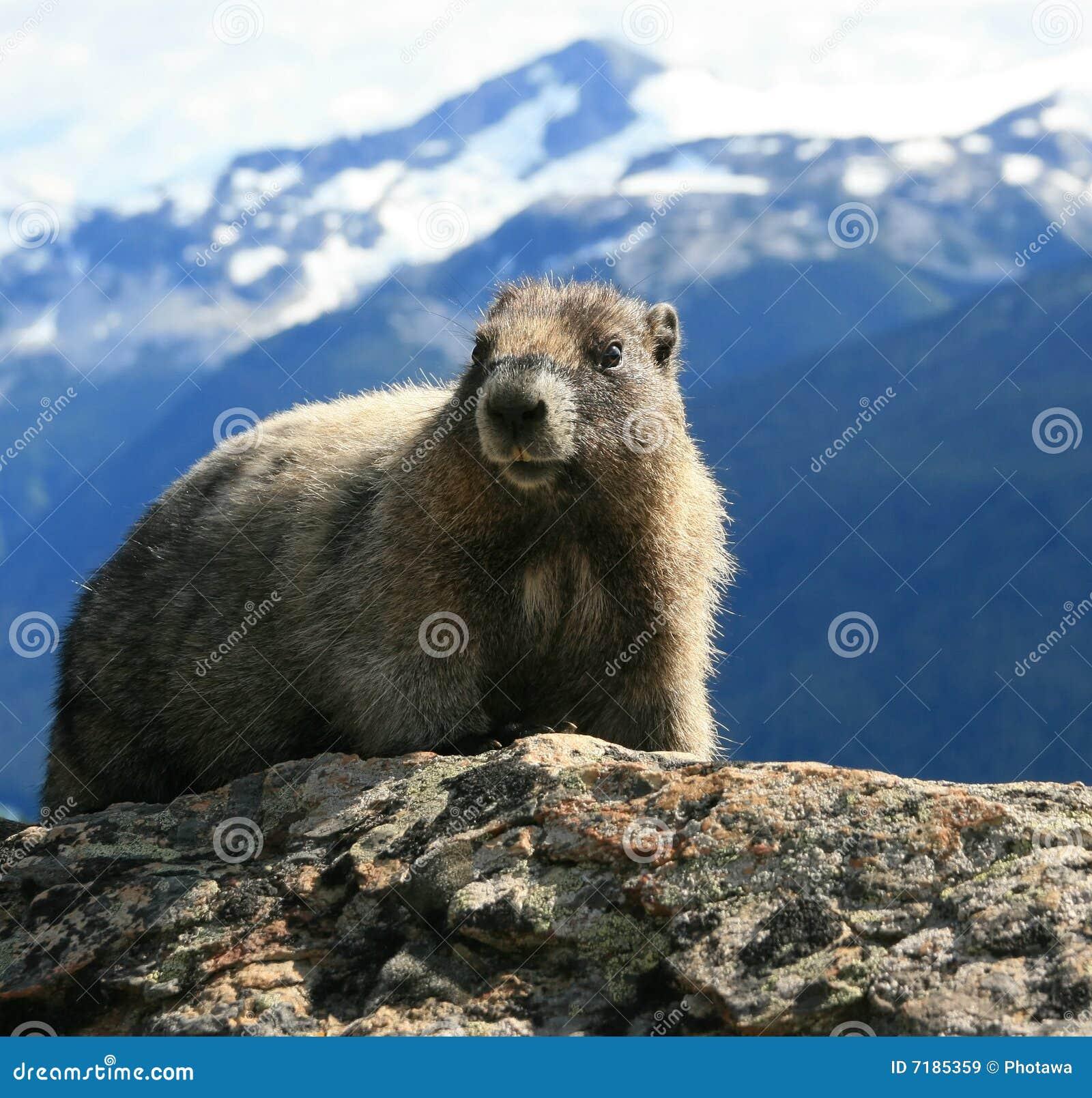 Hoary Marmot in the Alpine