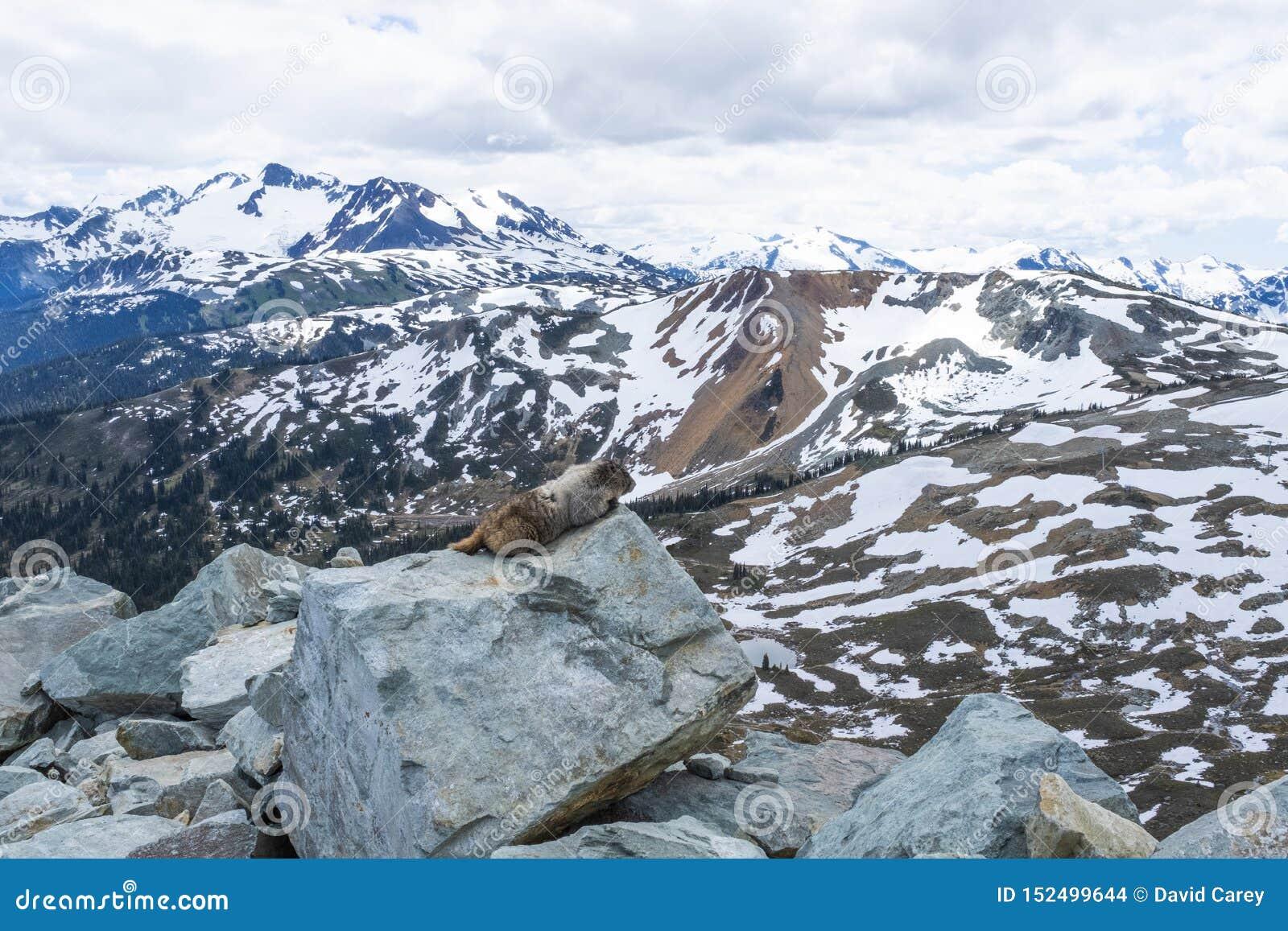 Hoary marmot enjoying the view on Whistler mountain