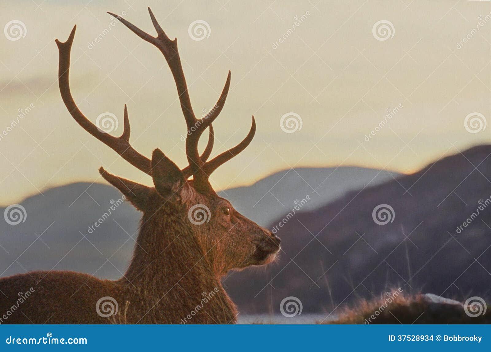 Hochland-roter Hirsch, Knoydart, Schottland