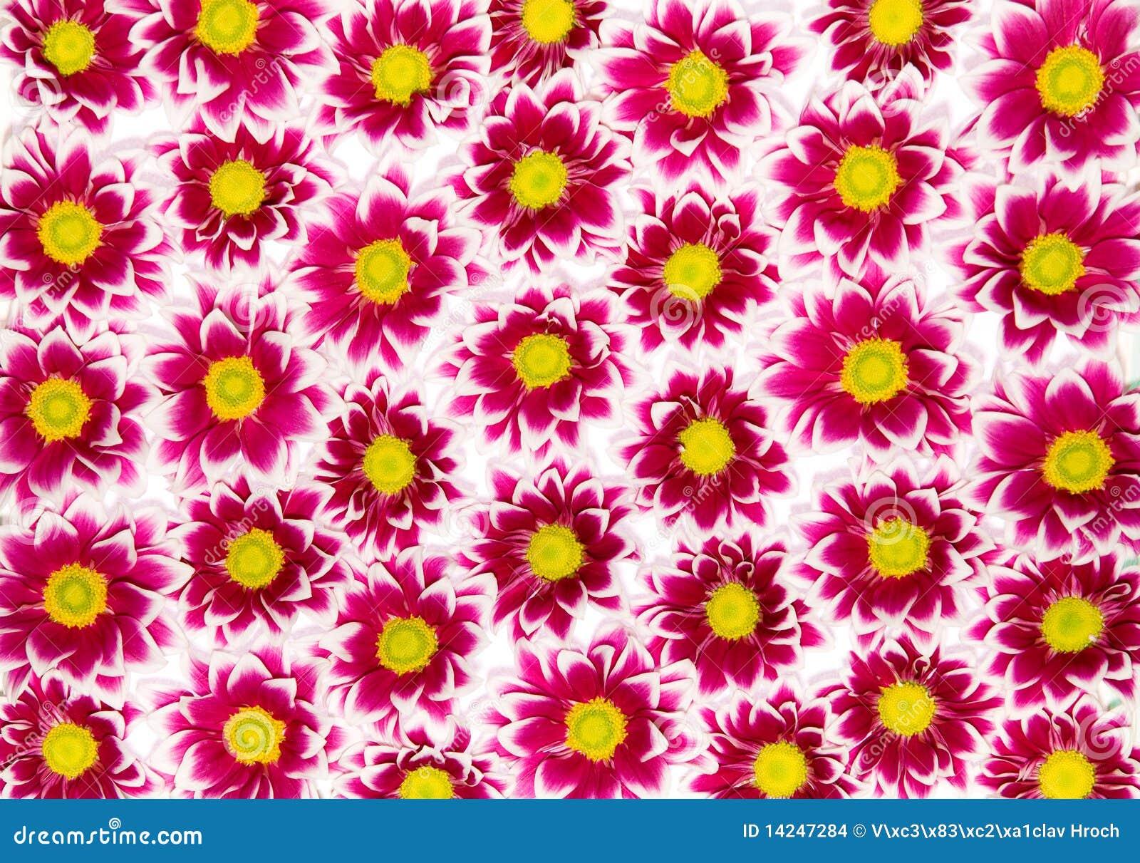 Hochrote Chrysanthemen
