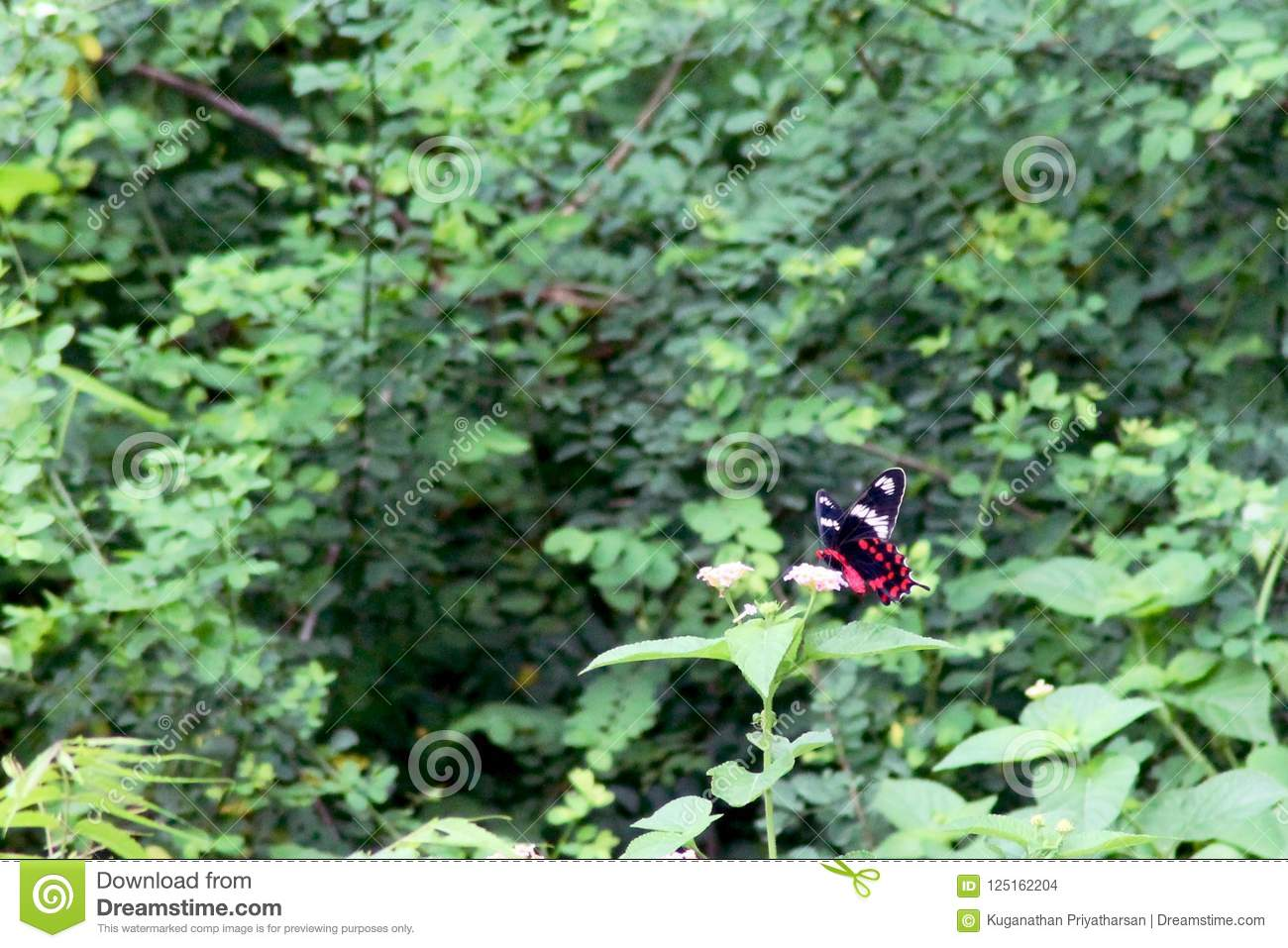 Hochrote Rose Butterfly