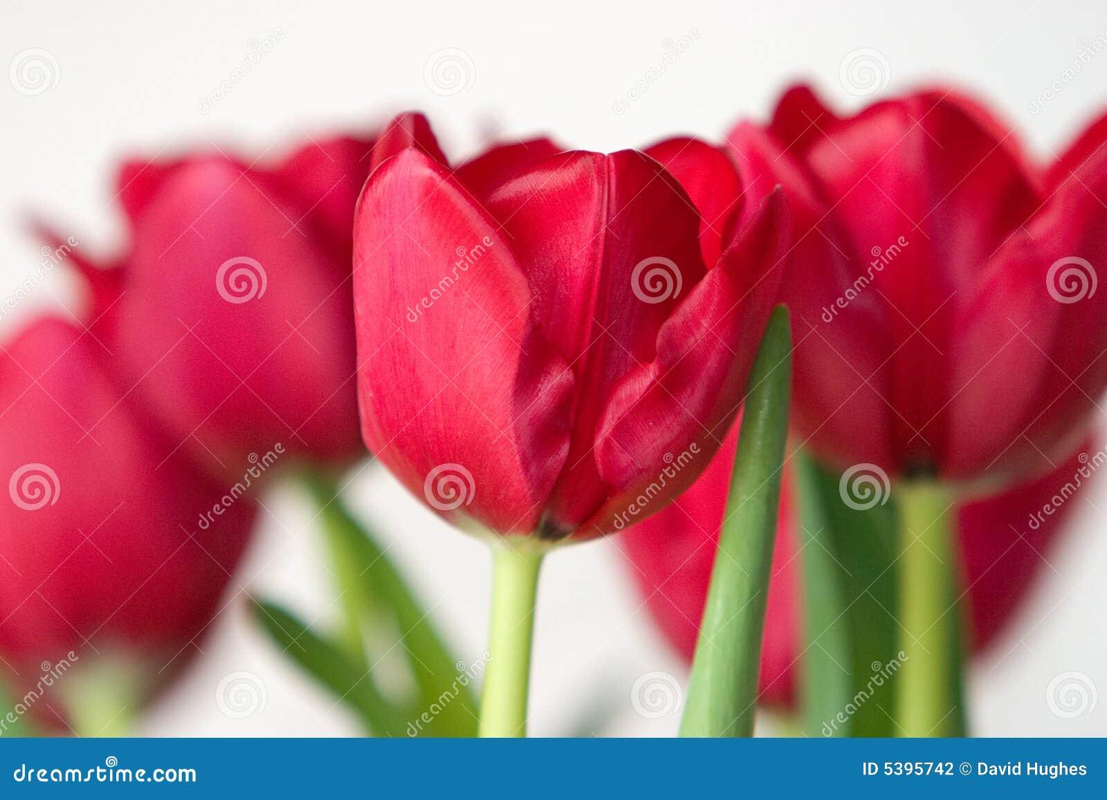 Hochrote Tulpen