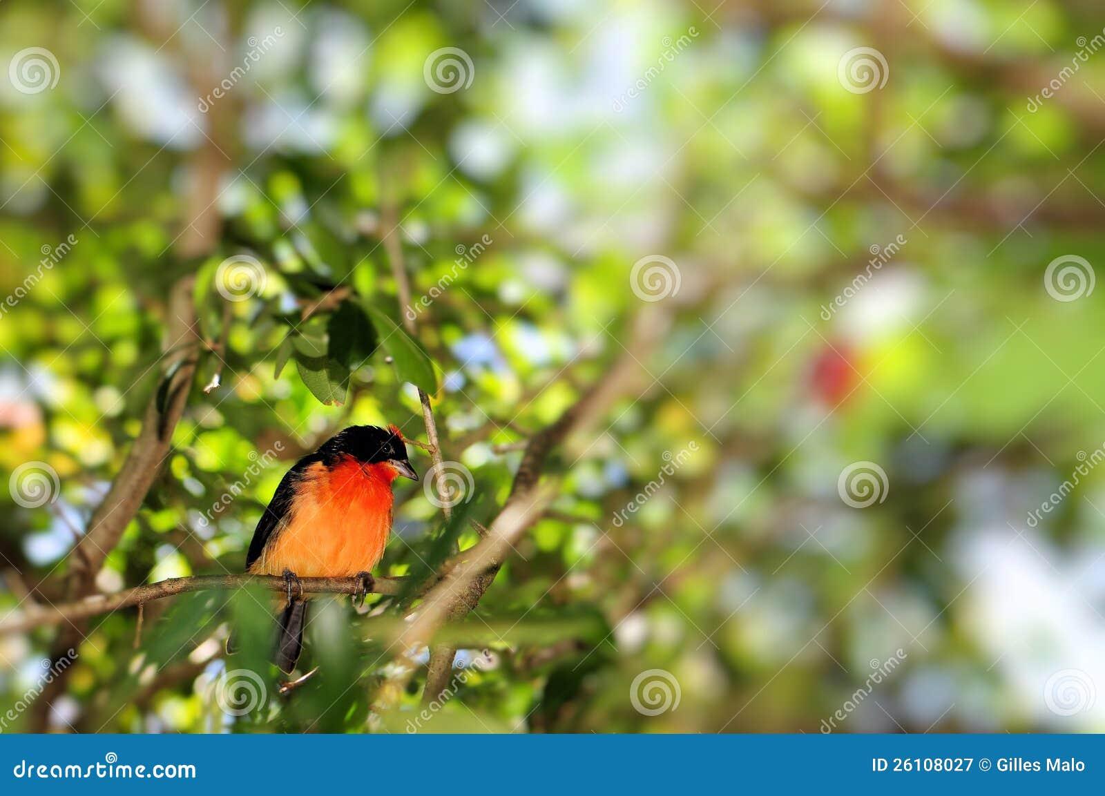 Hochroter-breasted Finkvogel