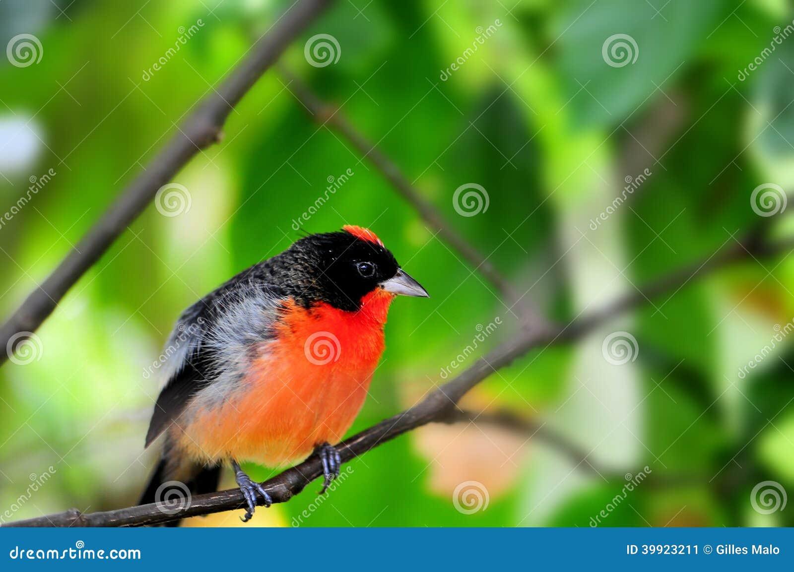 Hochroter-breasted Finkvogel im Vogelhaus
