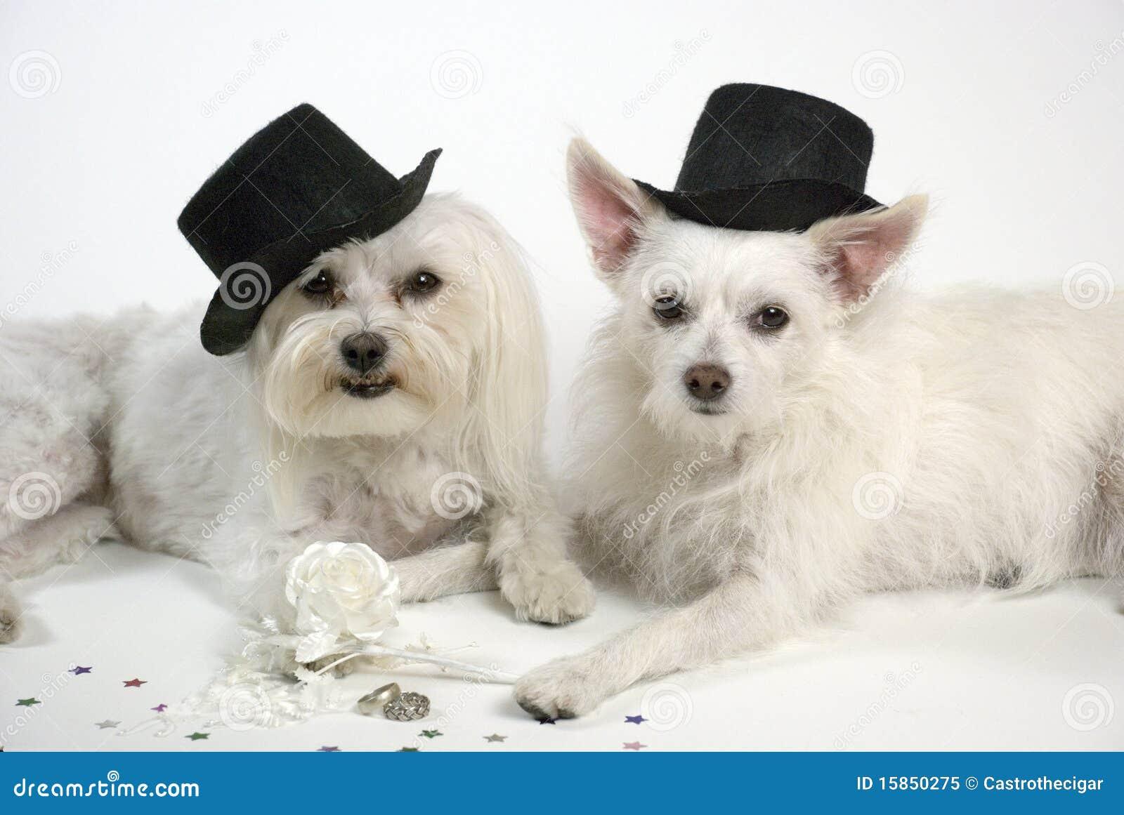 Hochzeits Hunde Stockbild Bild Von Nett Stieg Hunde 15850275