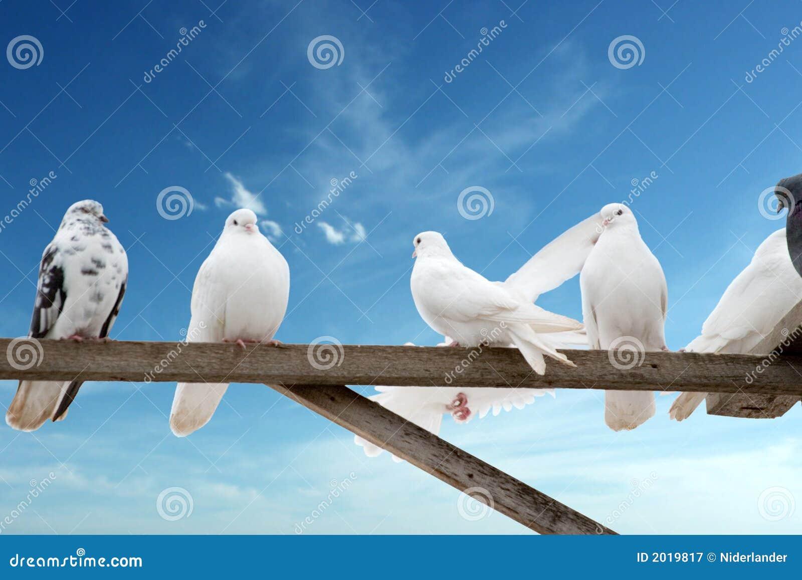 Hodować gołębie do domu