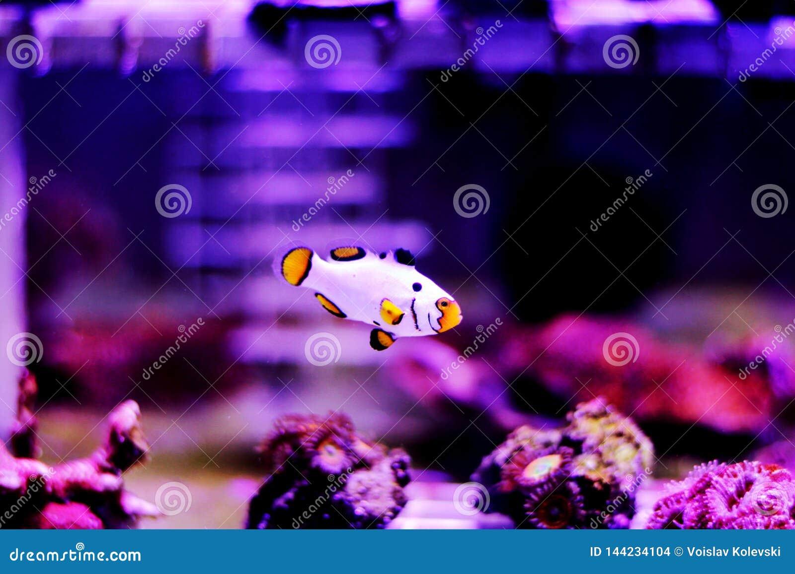 Hodujących Krańcowych Śnieżnych Onyksowych Clownfish, Amphriprion ocellaris x Amphriprion percula -