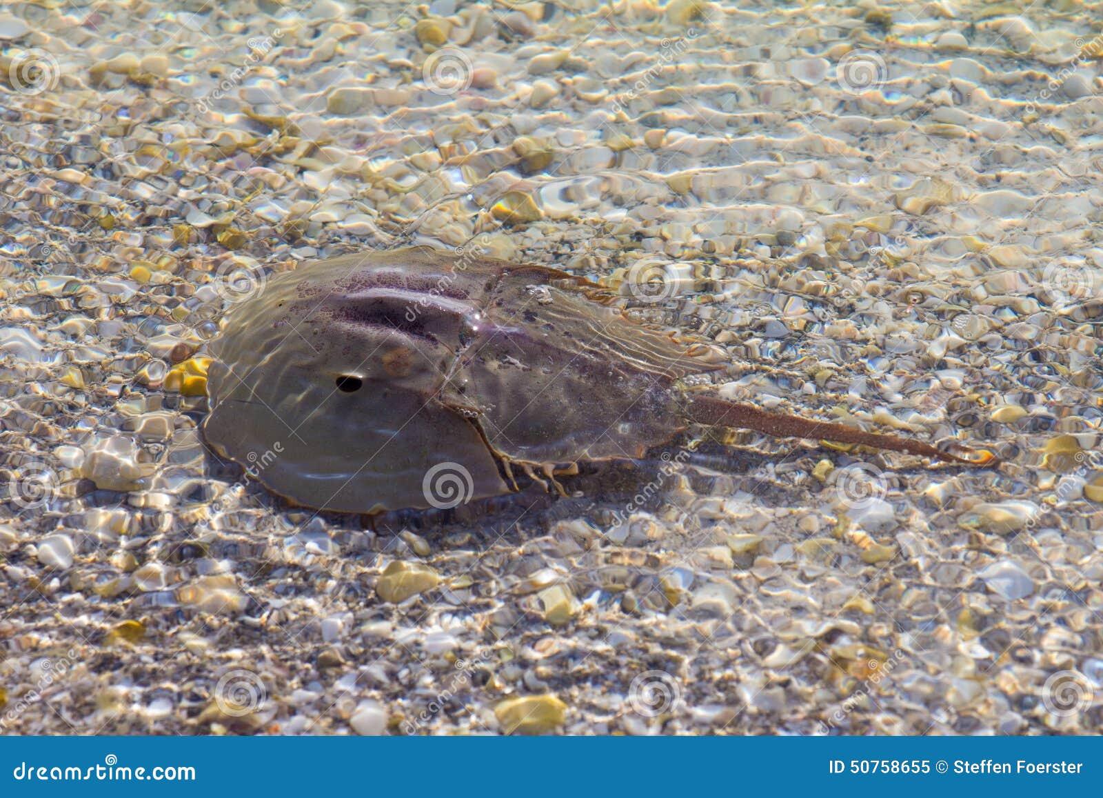 Hoefijzerkrab in ondiep water