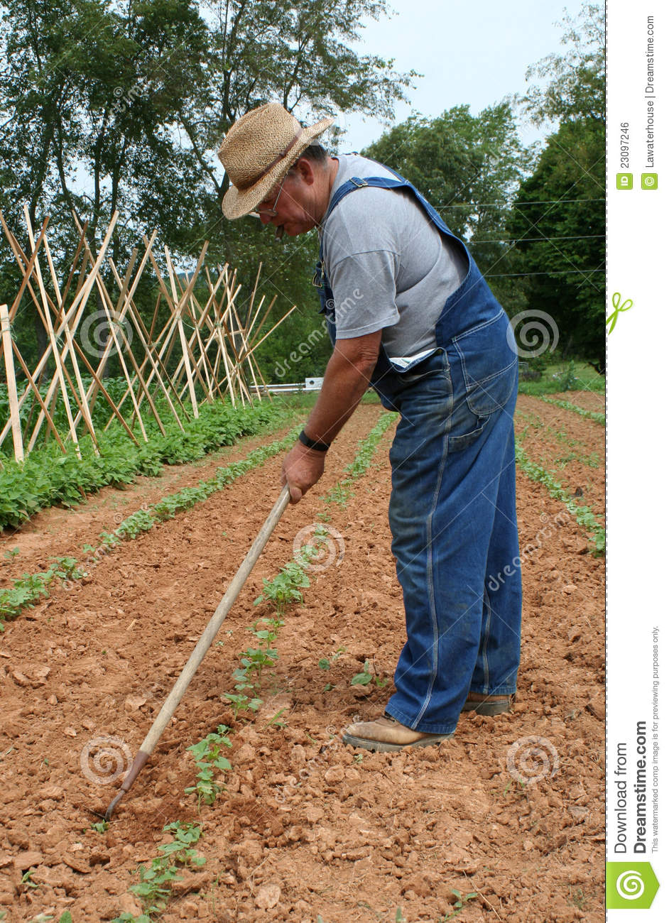 Local hard-working farmer continues his regular maintenance of tending ...