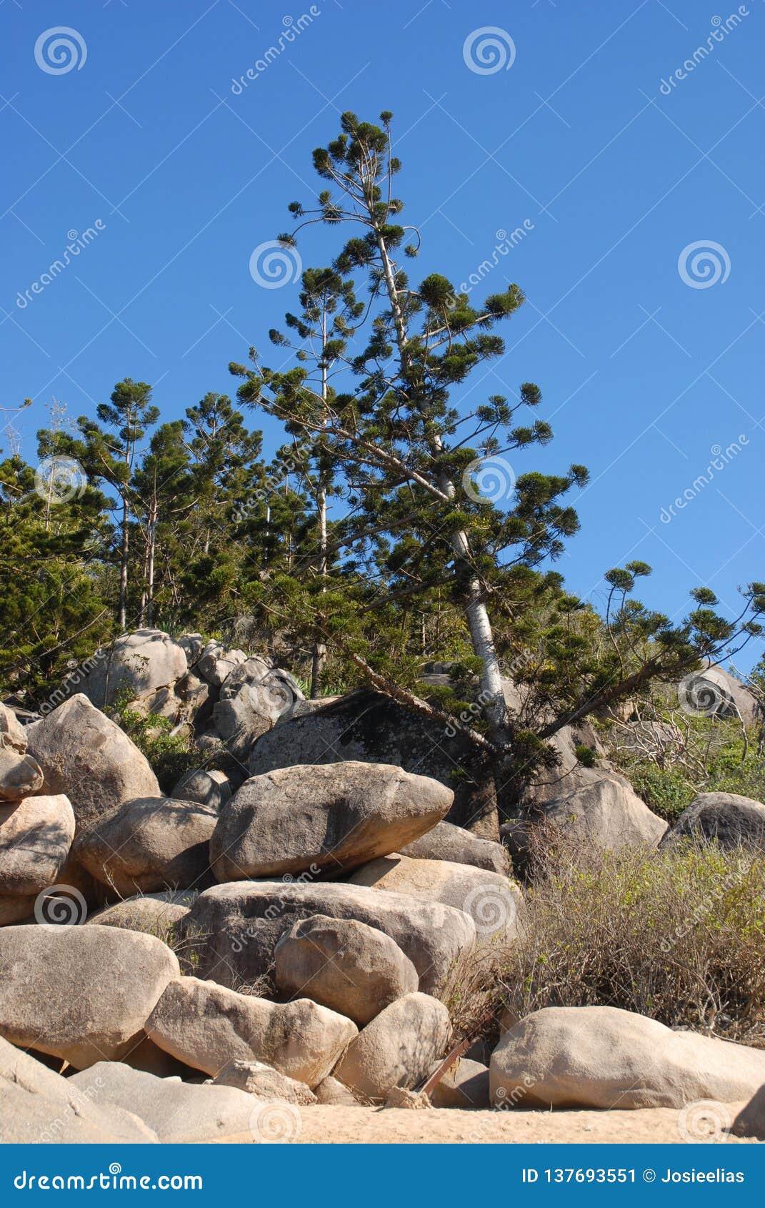 Hoepelpijnboom, Araucaria cunninghamii, Australische inheemse species