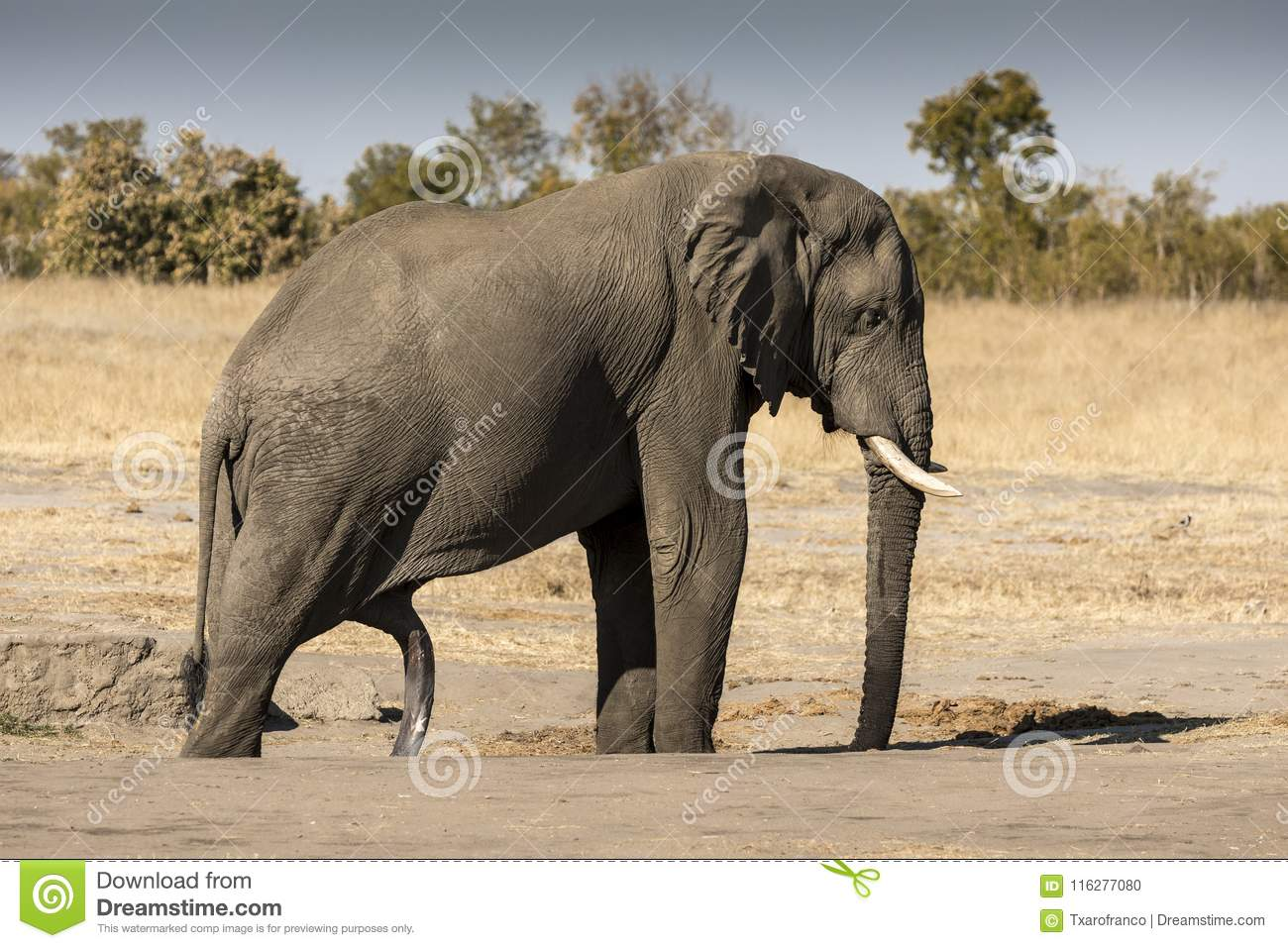 grote olifant penis