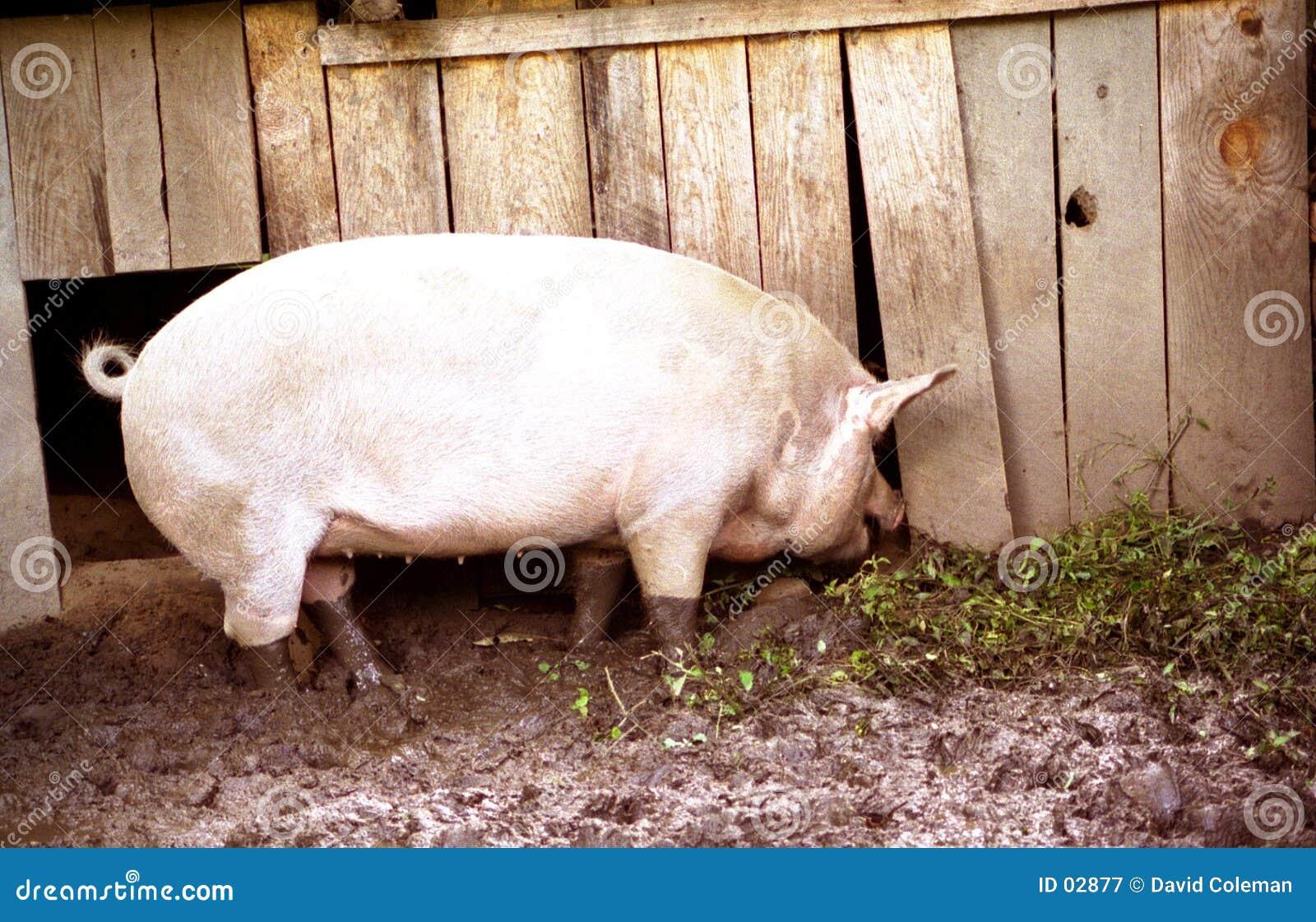 Hog in mud