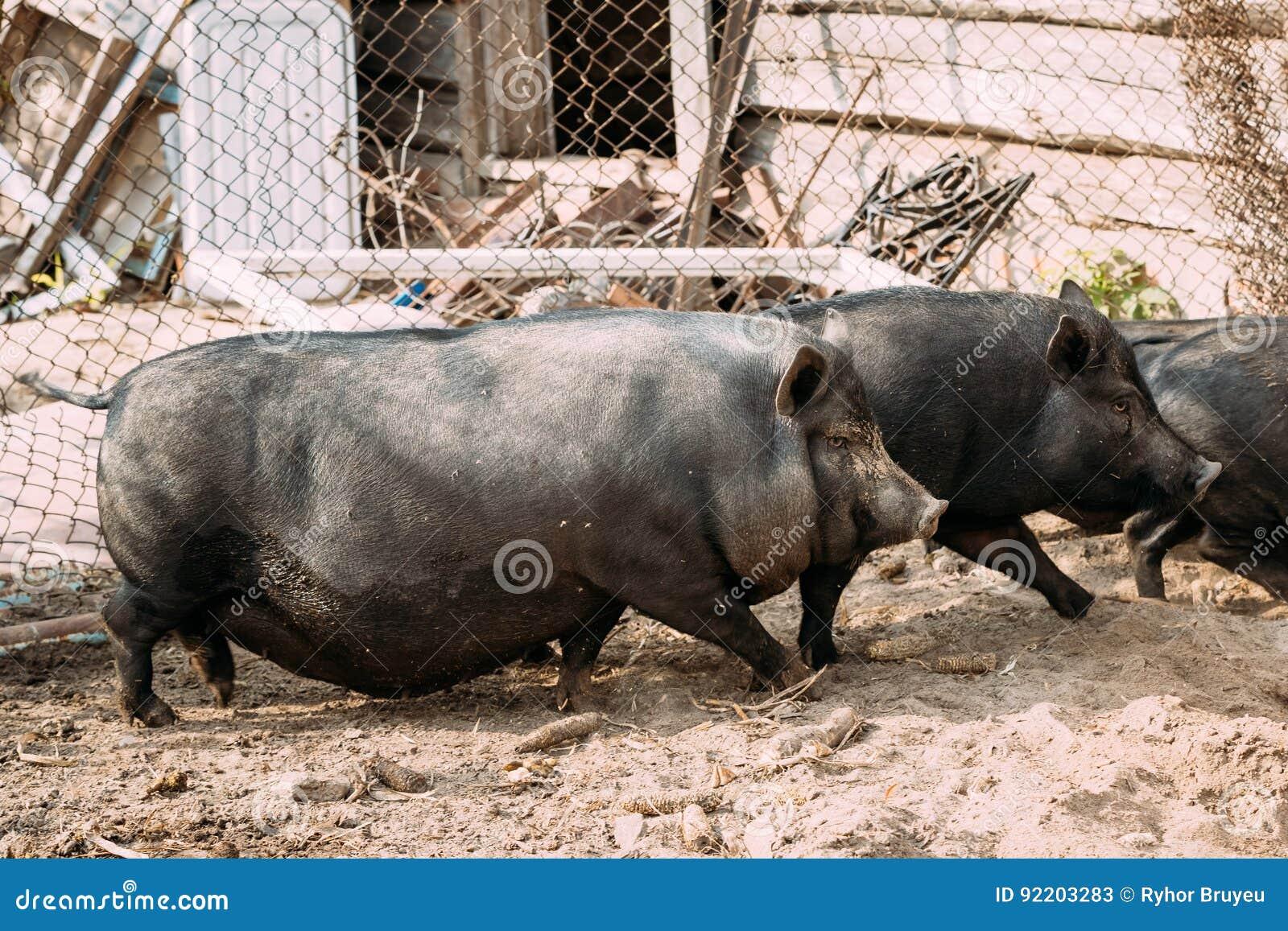 Hogar Cerdos Negros Grandes En Granja El Cultivo De Cerdo Está ...