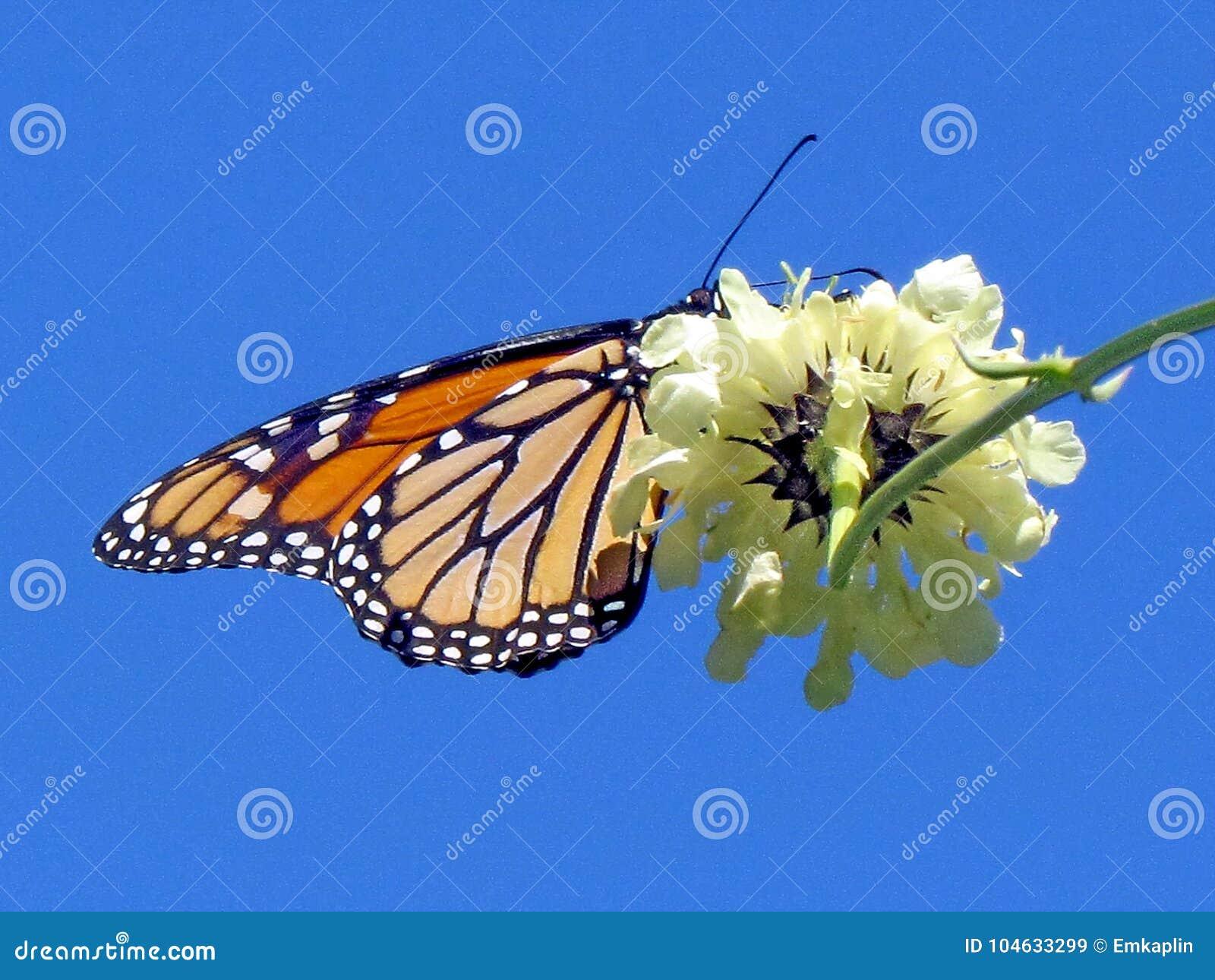 Download Hoge Het Parkmonarch En Witte Ijzerkruidbloem 2013 Van Toronto Stock Afbeelding - Afbeelding bestaande uit monarch, plantkunde: 104633299