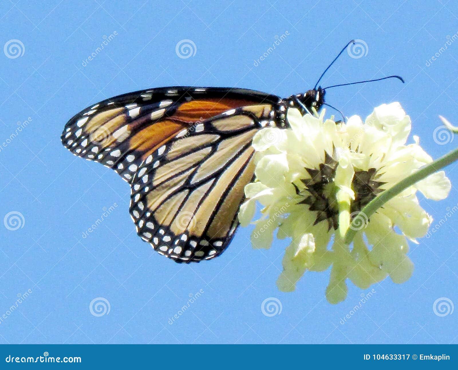 Download Hoge Het Parkmonarch Van Toronto Op Witte Ijzerkruidbloem 2013 Stock Afbeelding - Afbeelding bestaande uit insecten, installaties: 104633317