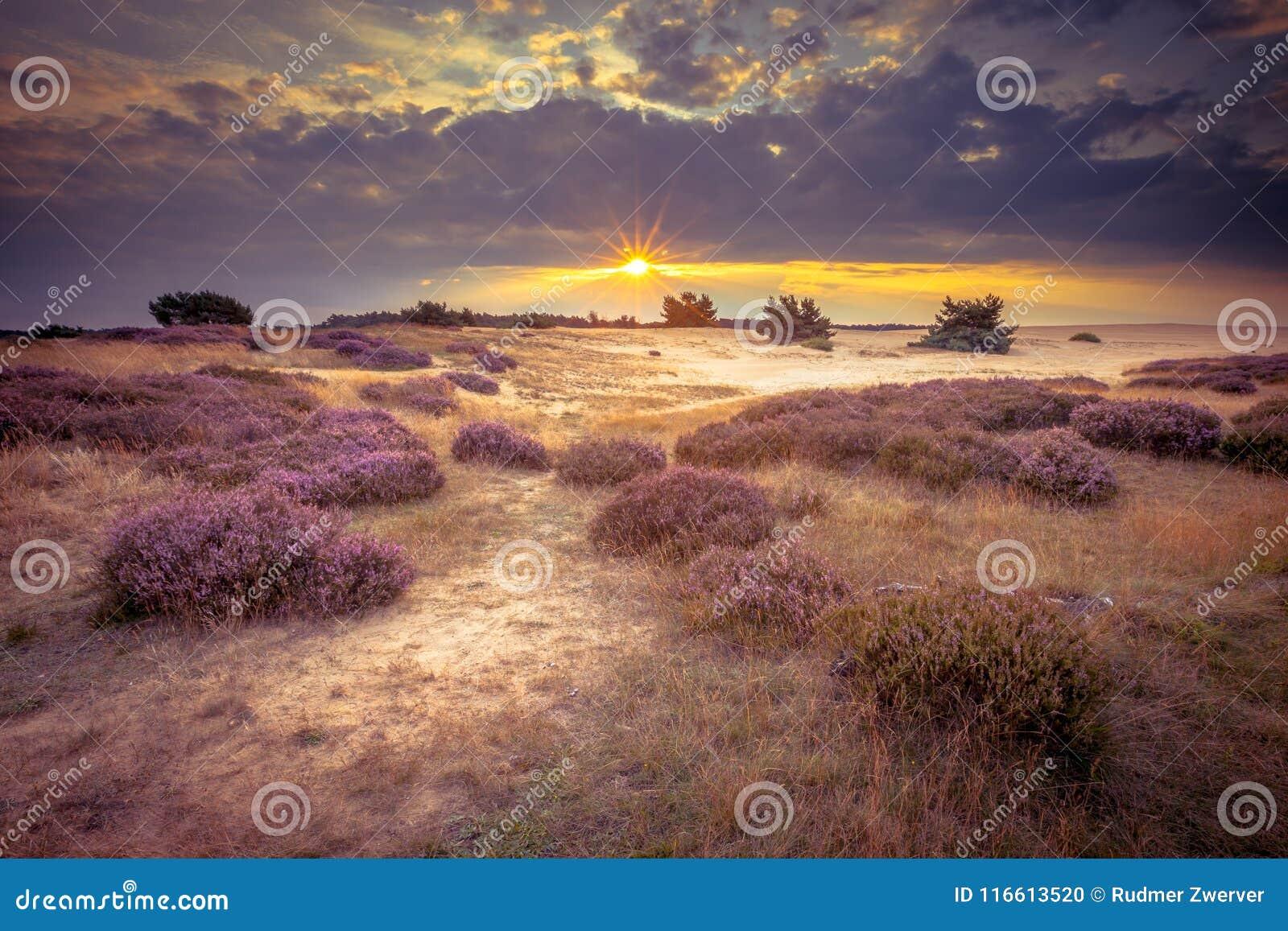 Hoge Veluwe在减速火箭的颜色的沙子欧石南丛生的荒野