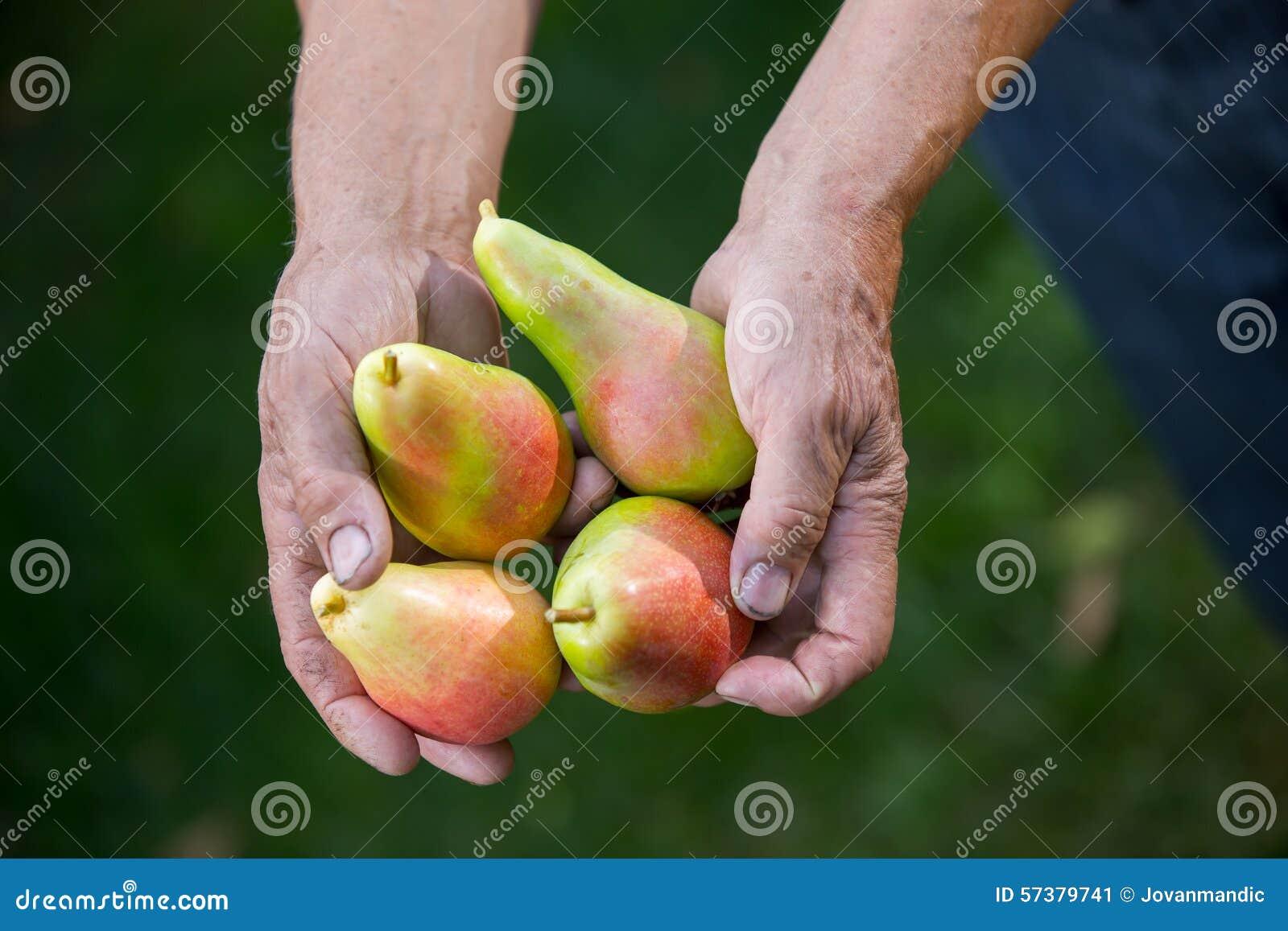 Hogere mens het plukken peren in een boomgaard