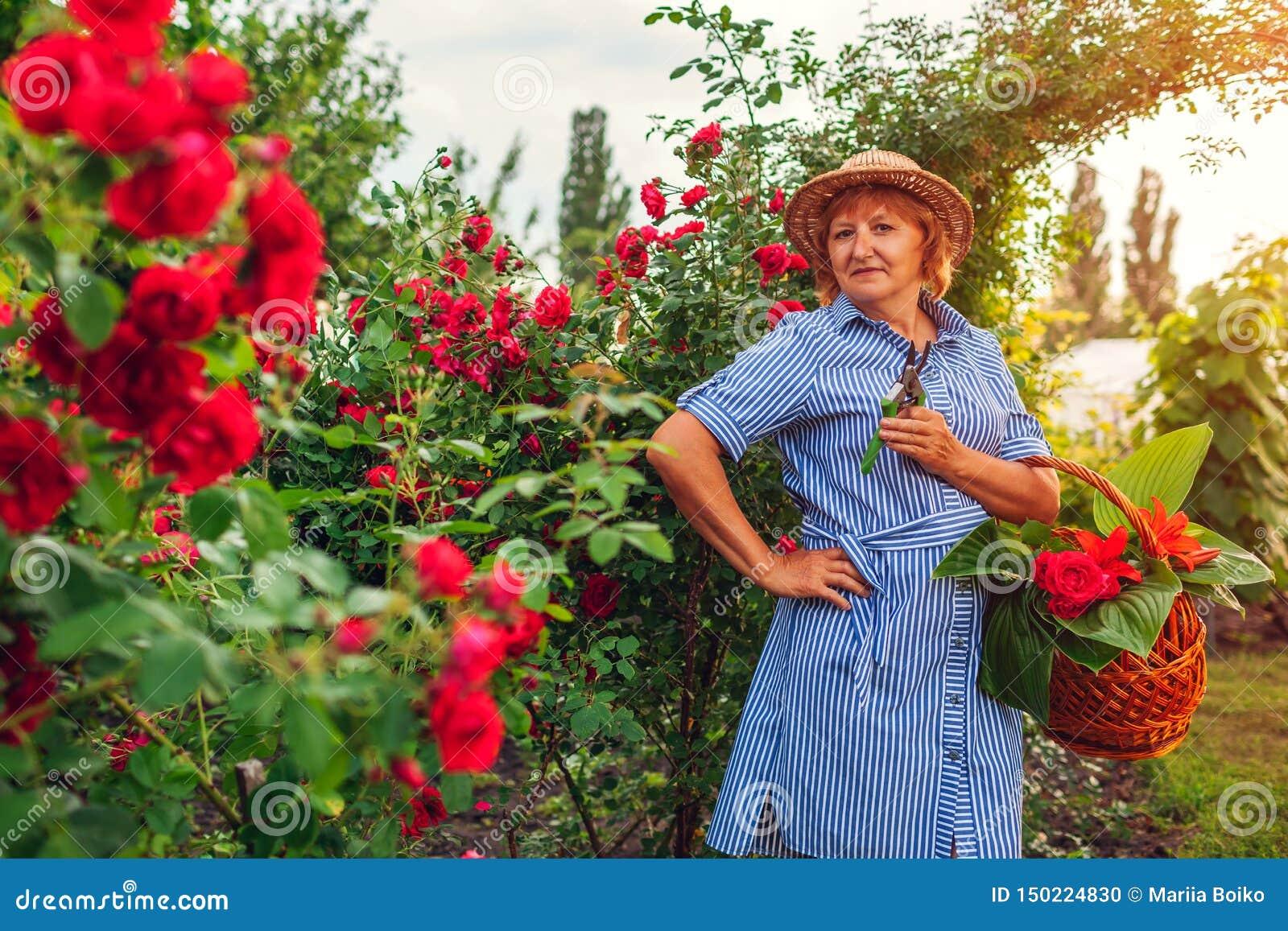 Hogere vrouw die bloemen in tuin verzamelen Vrouwen scherpe rozen op middelbare leeftijd weg Het tuinieren concept