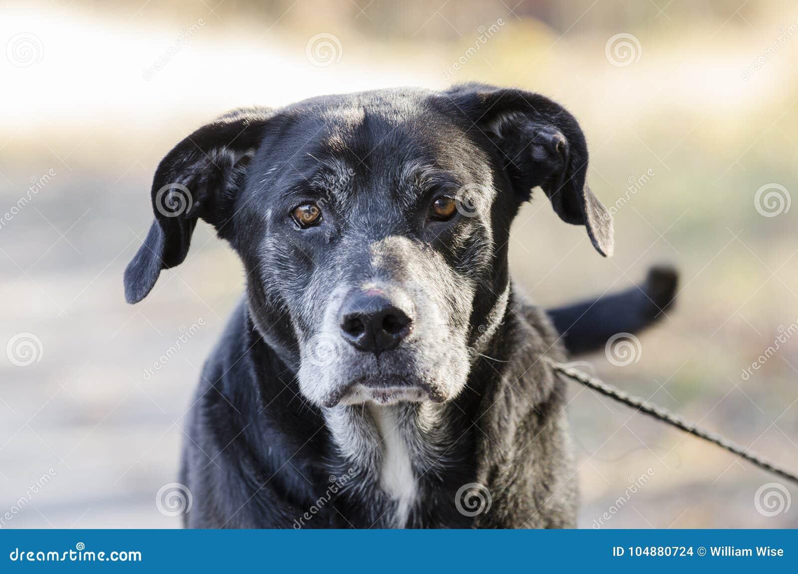 Hogere Zwarte Labradorhond met grijze snuit