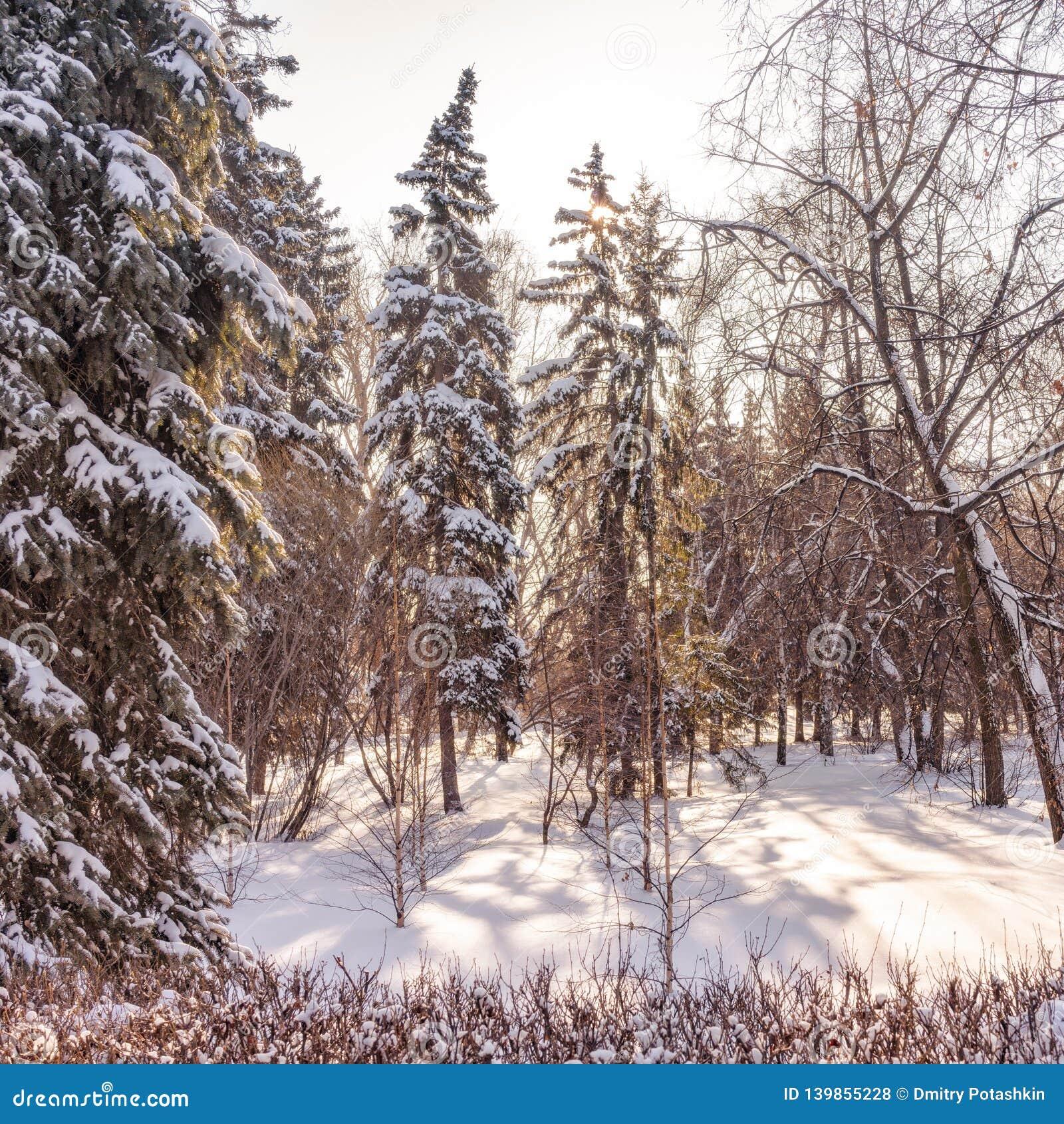 Hohe grüne Fichten im Winterpark bedeckten mit frischem weißem Schnee