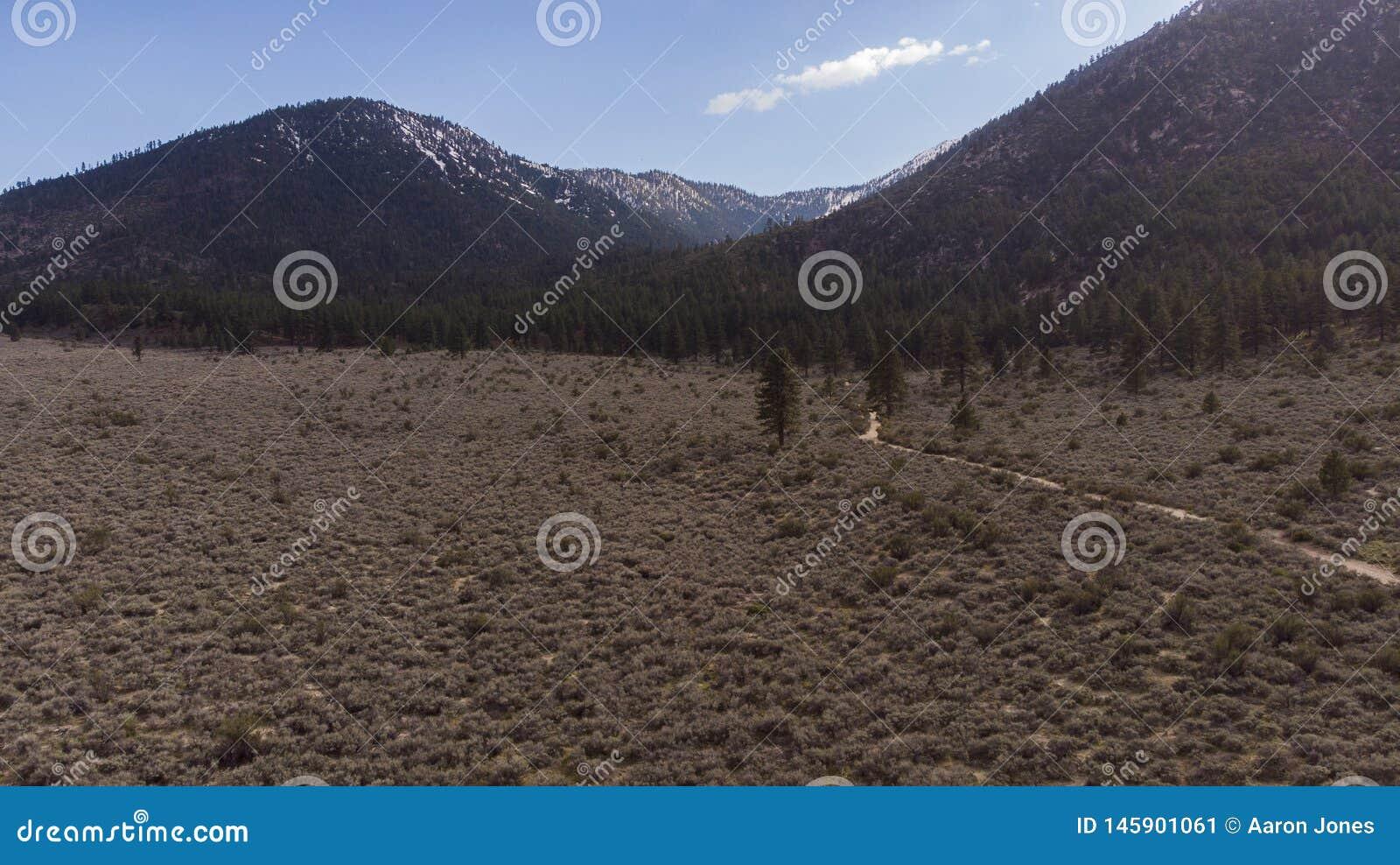Hoher Wüsten-Eimer-Bürsten-Gebirgsbaum