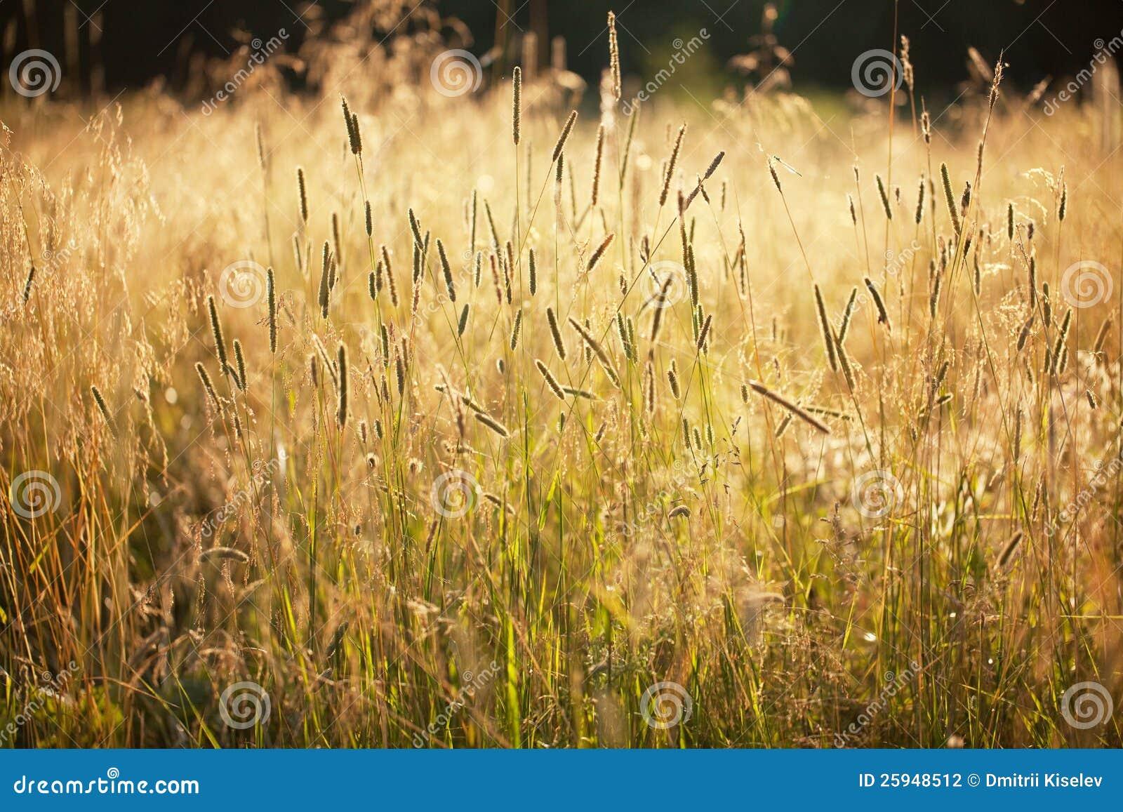Hohes Gras Stockfoto Bild Von Schön Draußen Heuen 25948512
