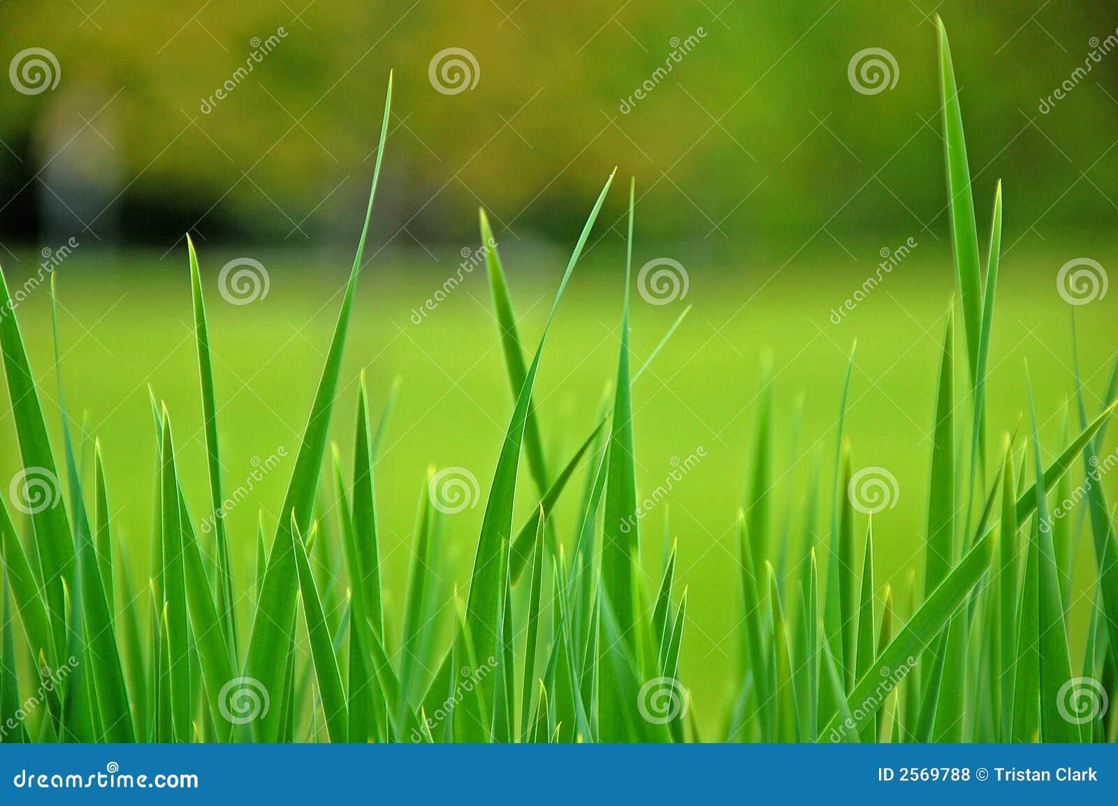 Hohes Gras in einer Wiese