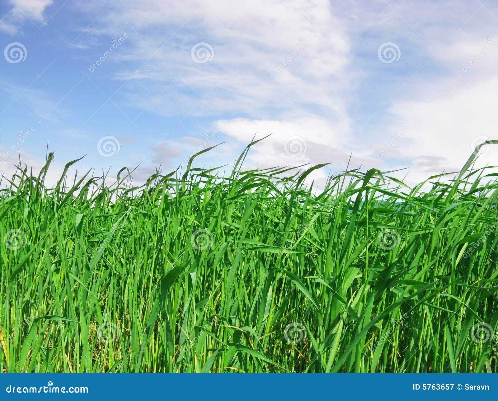 hohes gras mit blauem himmel lizenzfreie stockfotografie bild 5763657. Black Bedroom Furniture Sets. Home Design Ideas