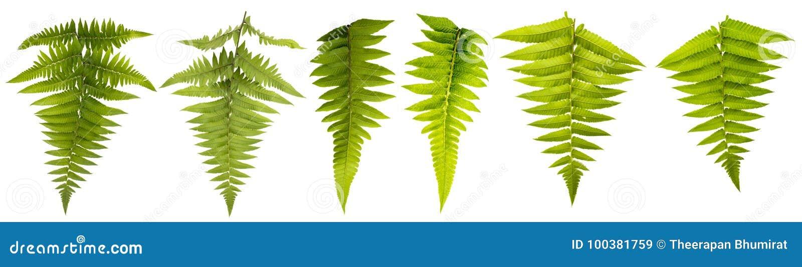 Hoja aislada en el fondo blanco con la trayectoria de recortes Las hojas utilizan para el cepillo y más decorativo