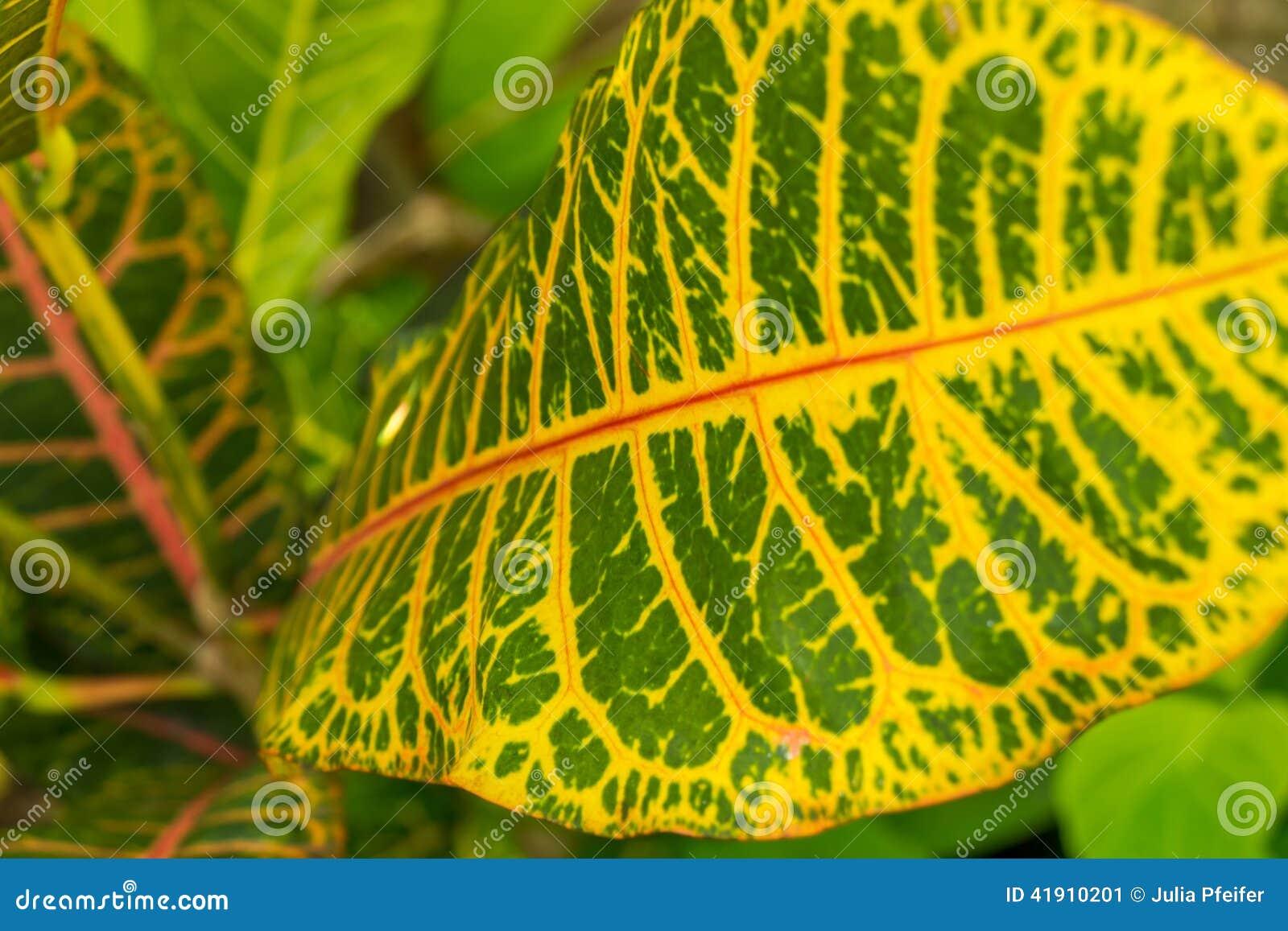 Hoja amarilla y verde colorida del Croton