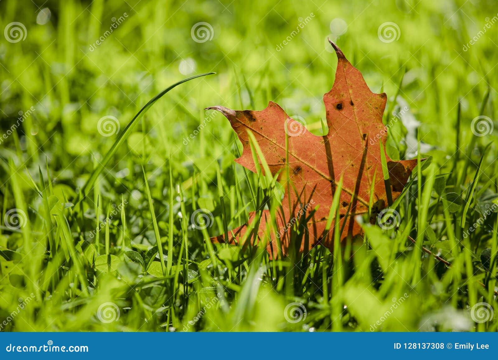 Hoja de arce en la hierba