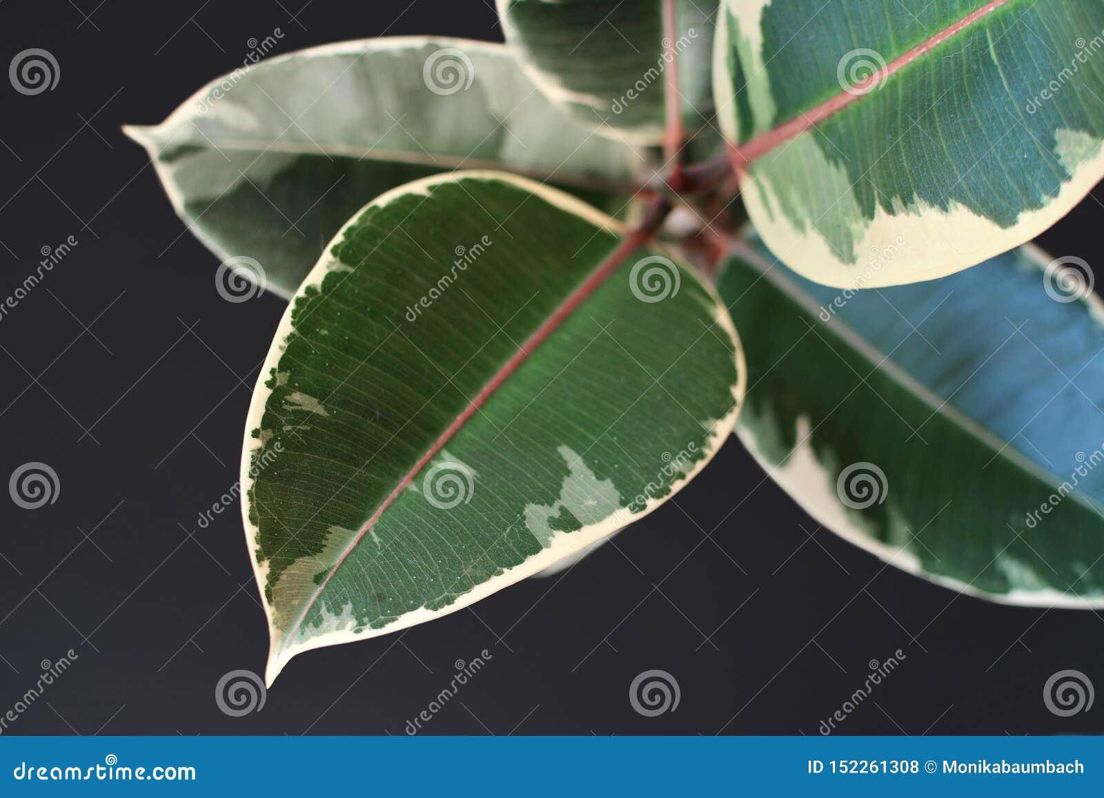 Hoja de a exótica 'planta del árbol de goma de Elastica Variegata de los ficus 'en fondo negro